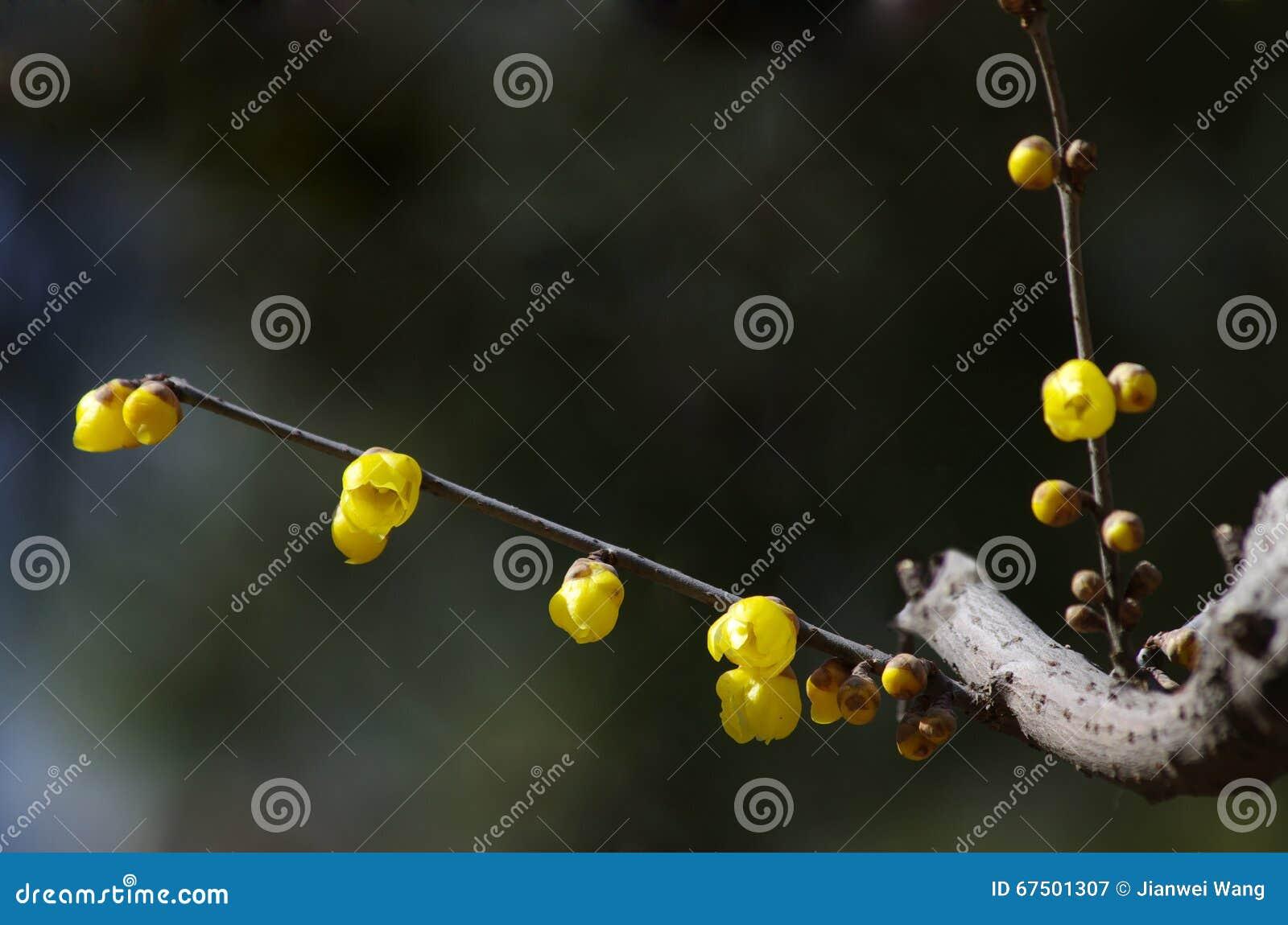 Fleur de Wintersweet