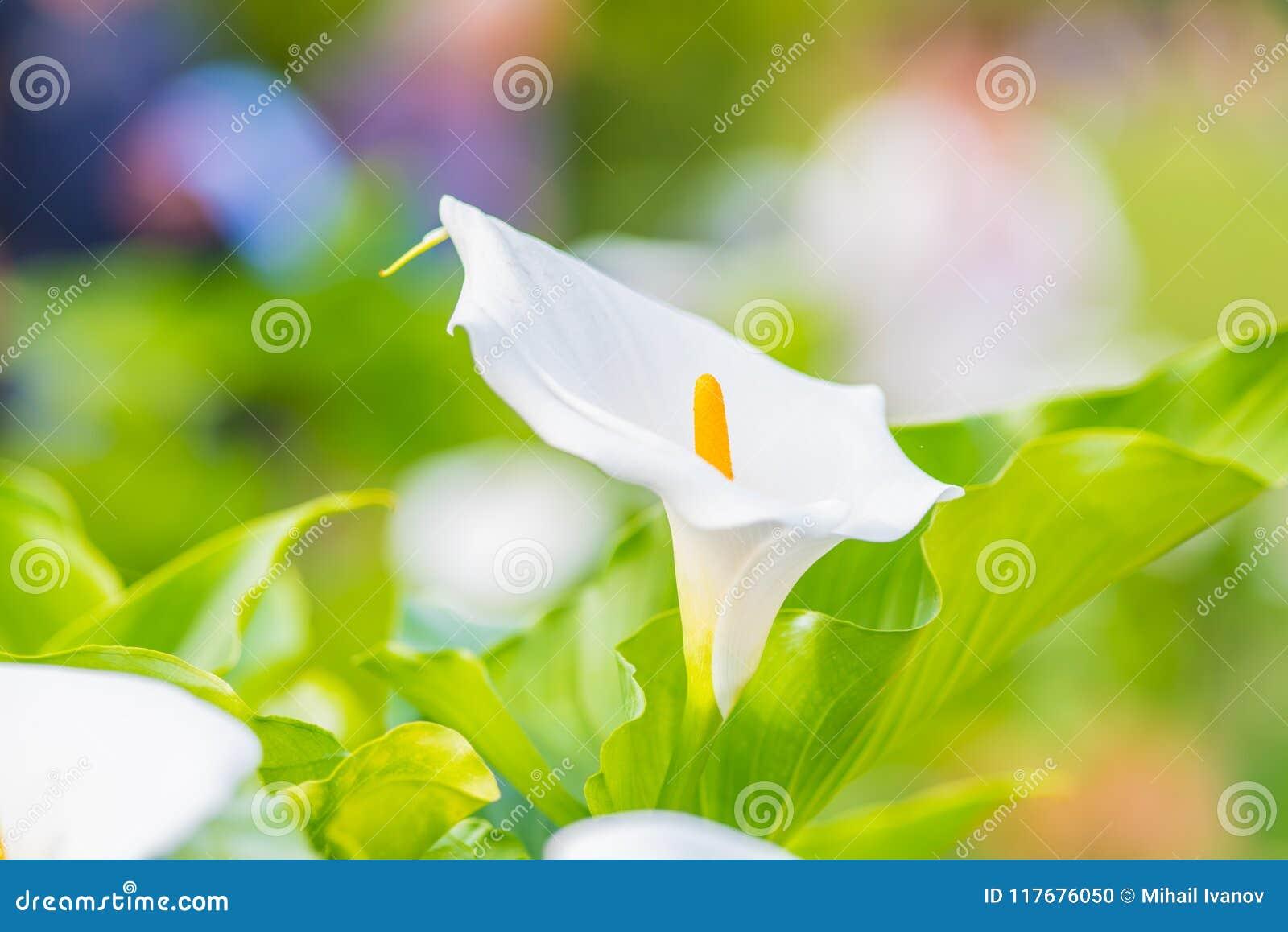 Fleur de zantedeschia