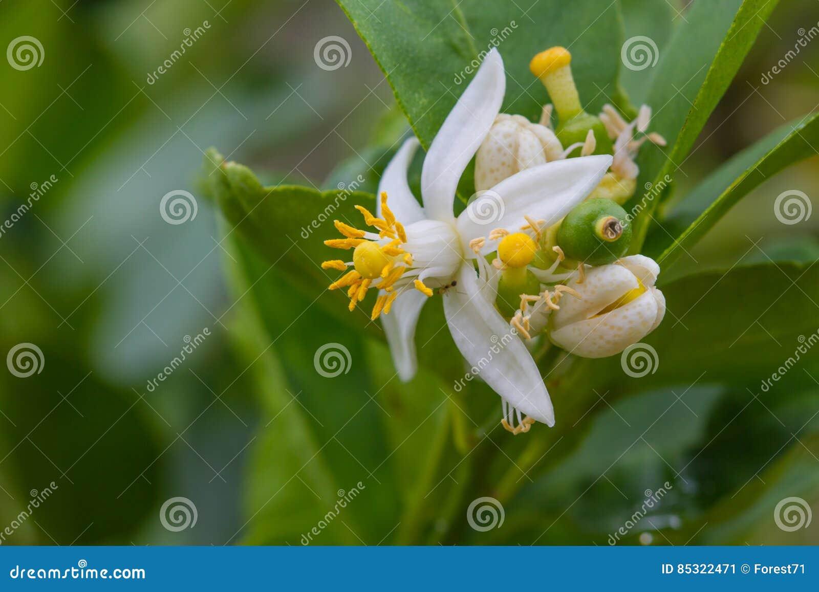 Fleur Des Fruits De Bergamote Sur L'arbre Image stock - Image du frais, fruit: 85322471