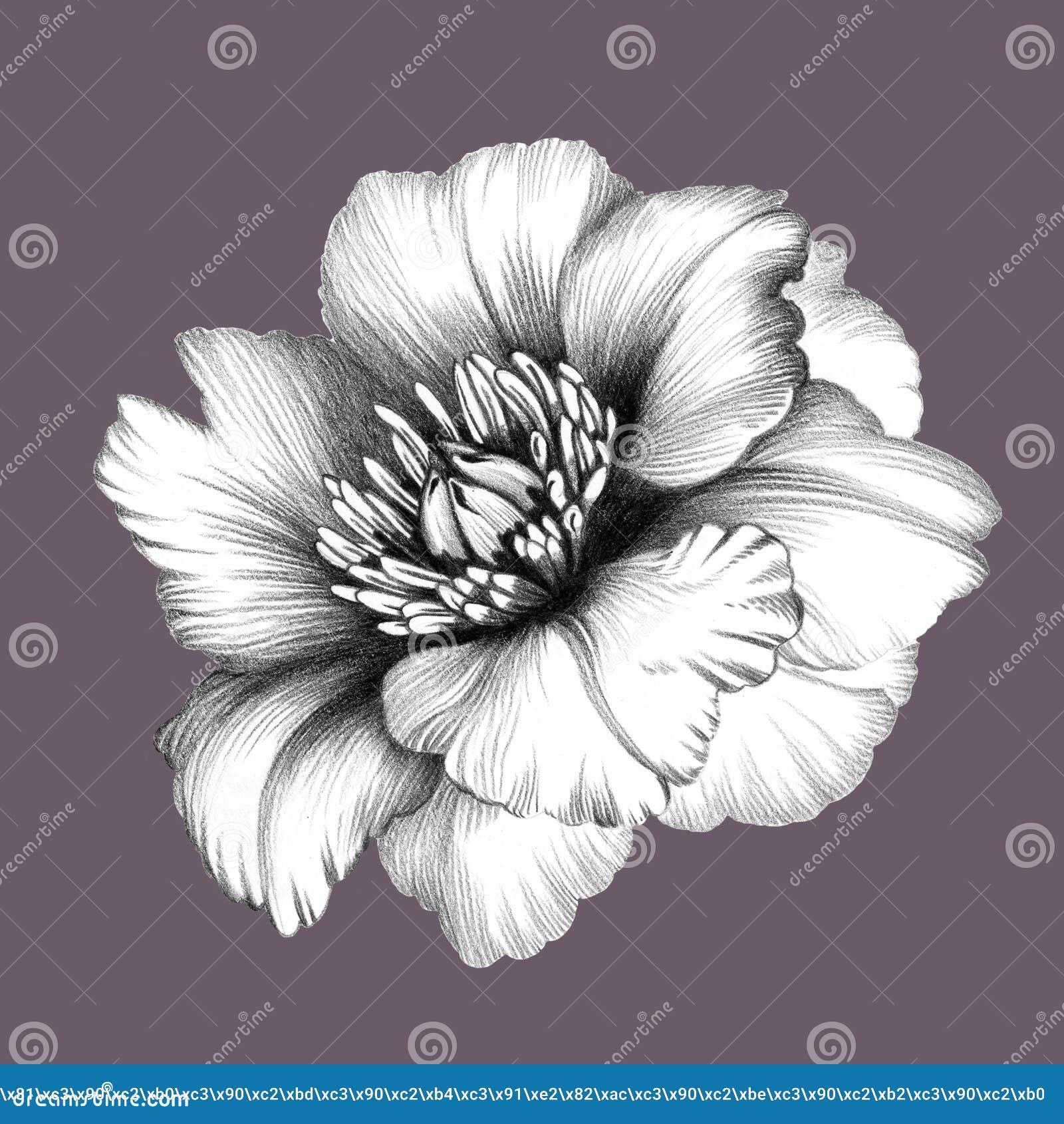 Peonies Fleur Dessin Au Crayon Illustration Stock Image 60806940