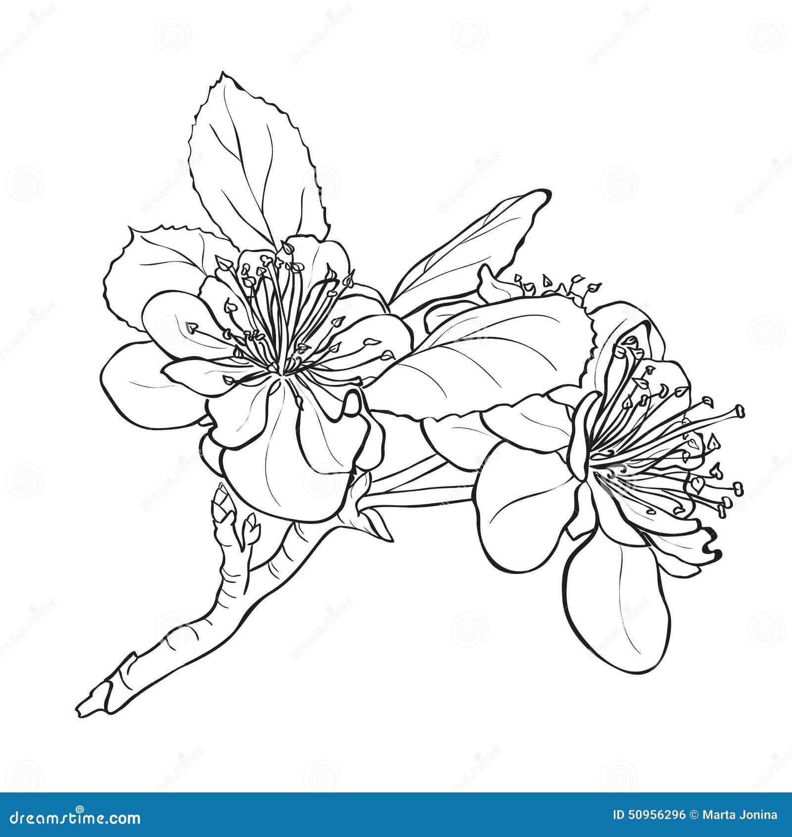 Fleur dessin de fleurs de cerisier illustration de - Dessin fleur de cerisier ...