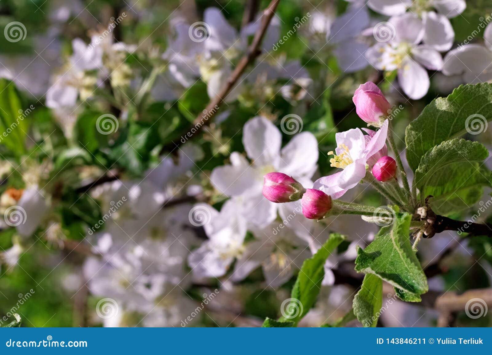 Fleur du cerisier avec la lumière du soleil comme signe de printemps Fleurs de cerisier de ressort, fleurs blanches, fleur rose e