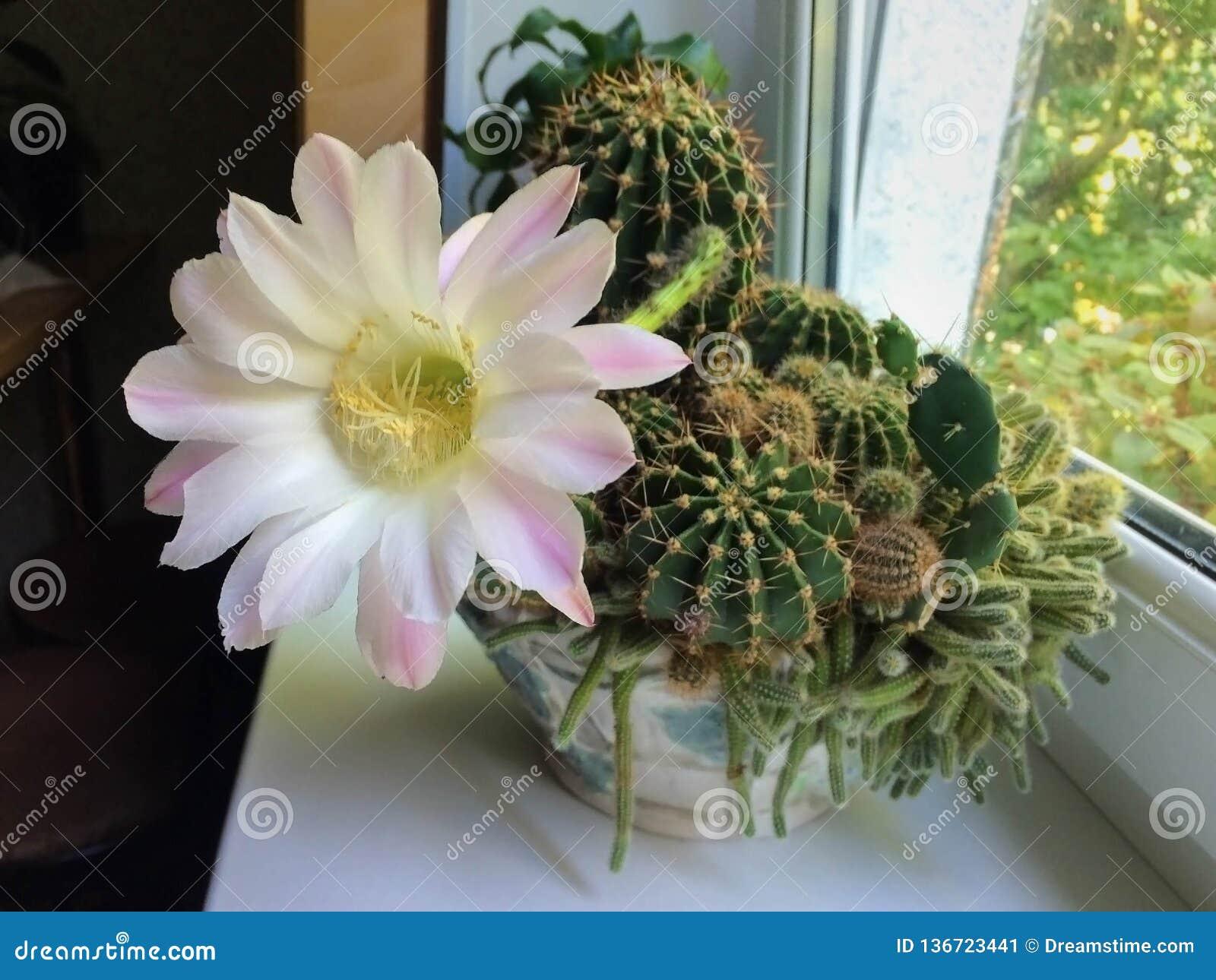 Fleur du pays de cactus développée dans un pot