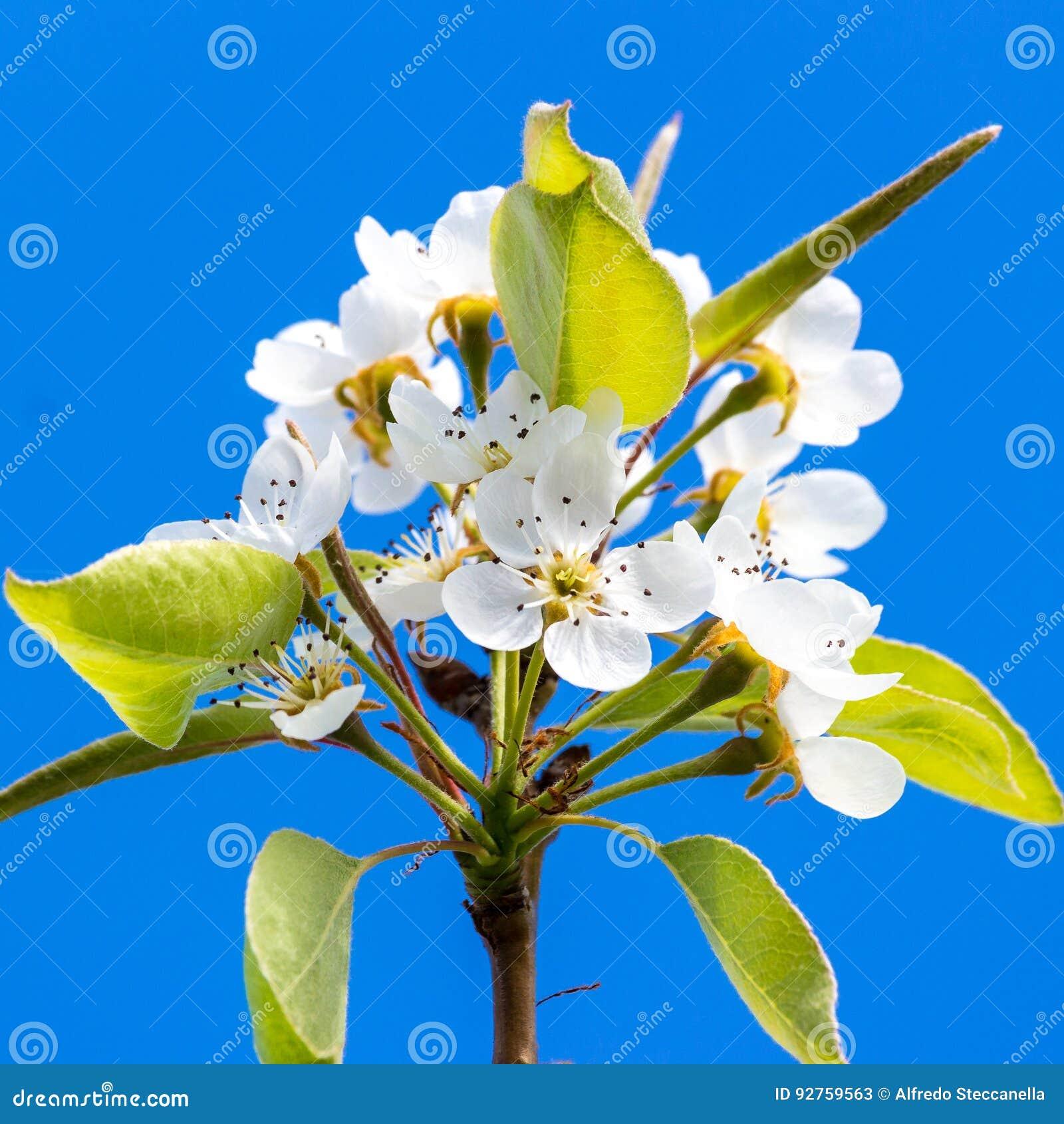 Fleur du ` s de poirier