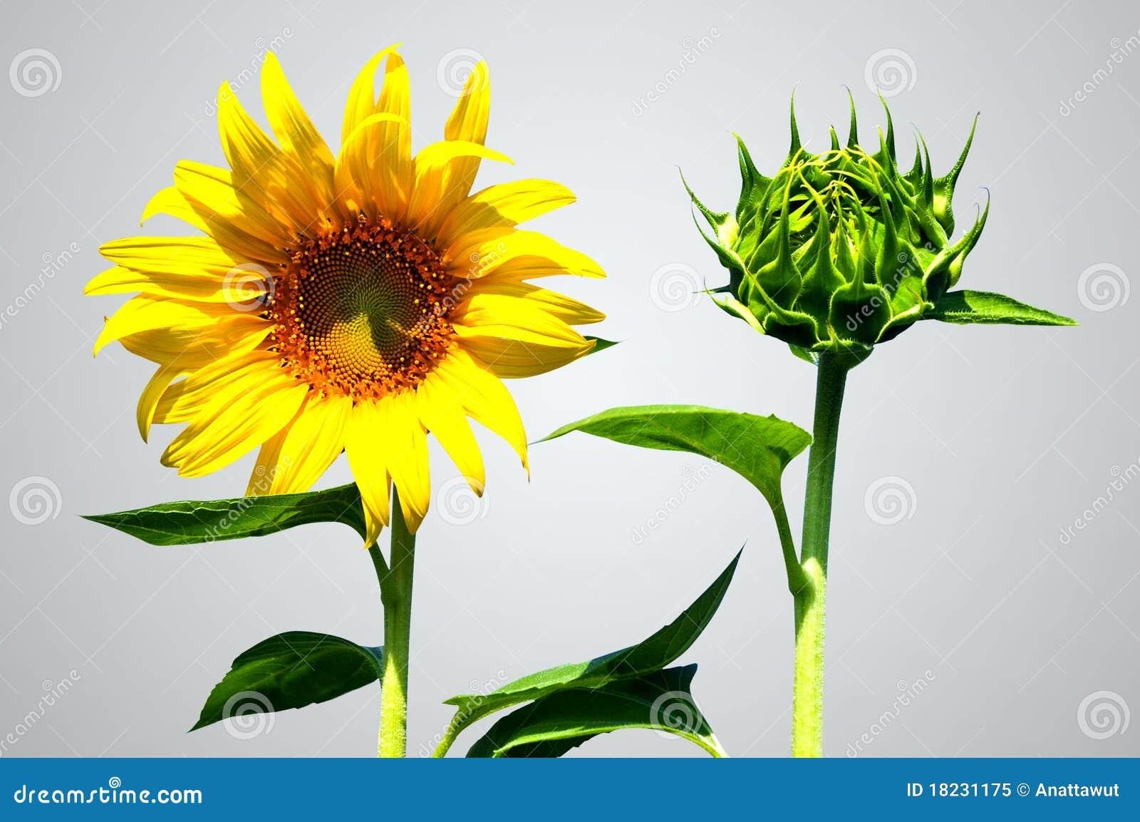Fleur du soleil de tournesol et de bourgeon photo libre de droits image 18231175 - Fleur du soleil ...