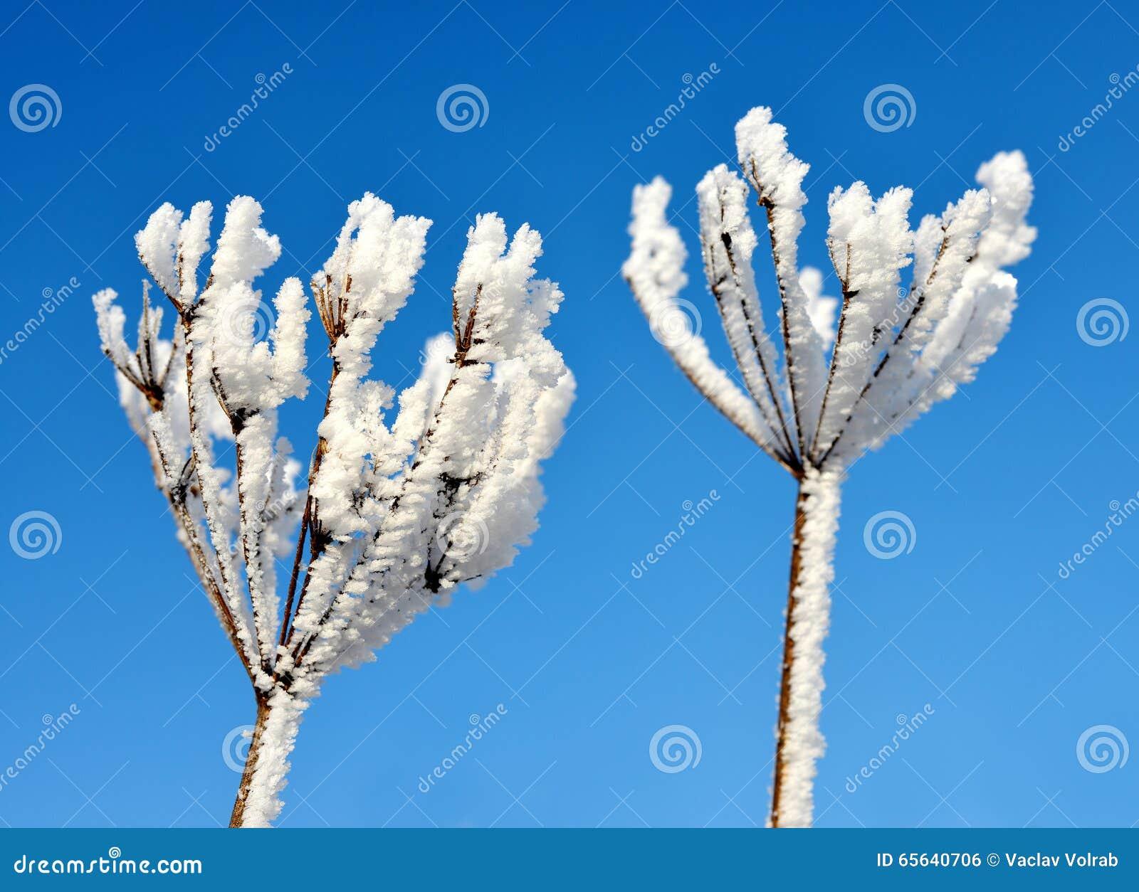 Fleur en hiver avec les cristaux de glace congelés