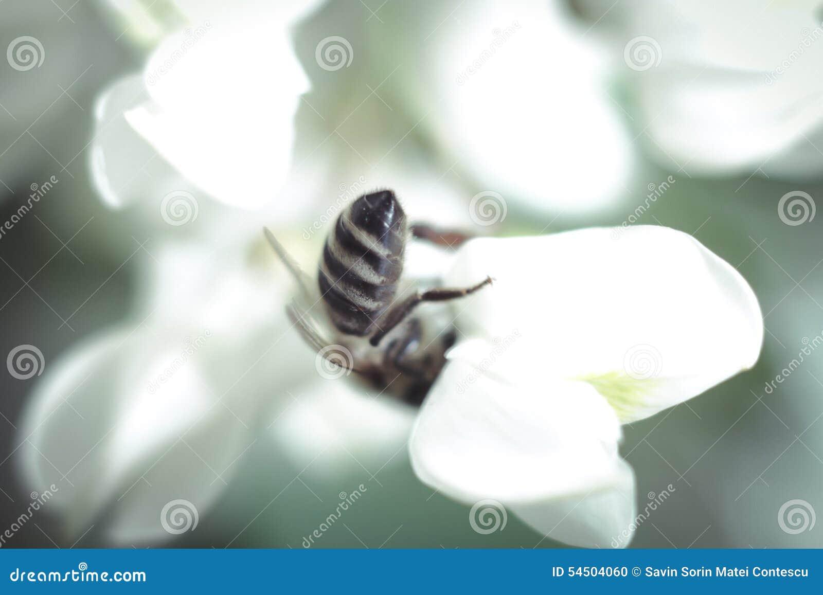 Fleur et abeille d acacia