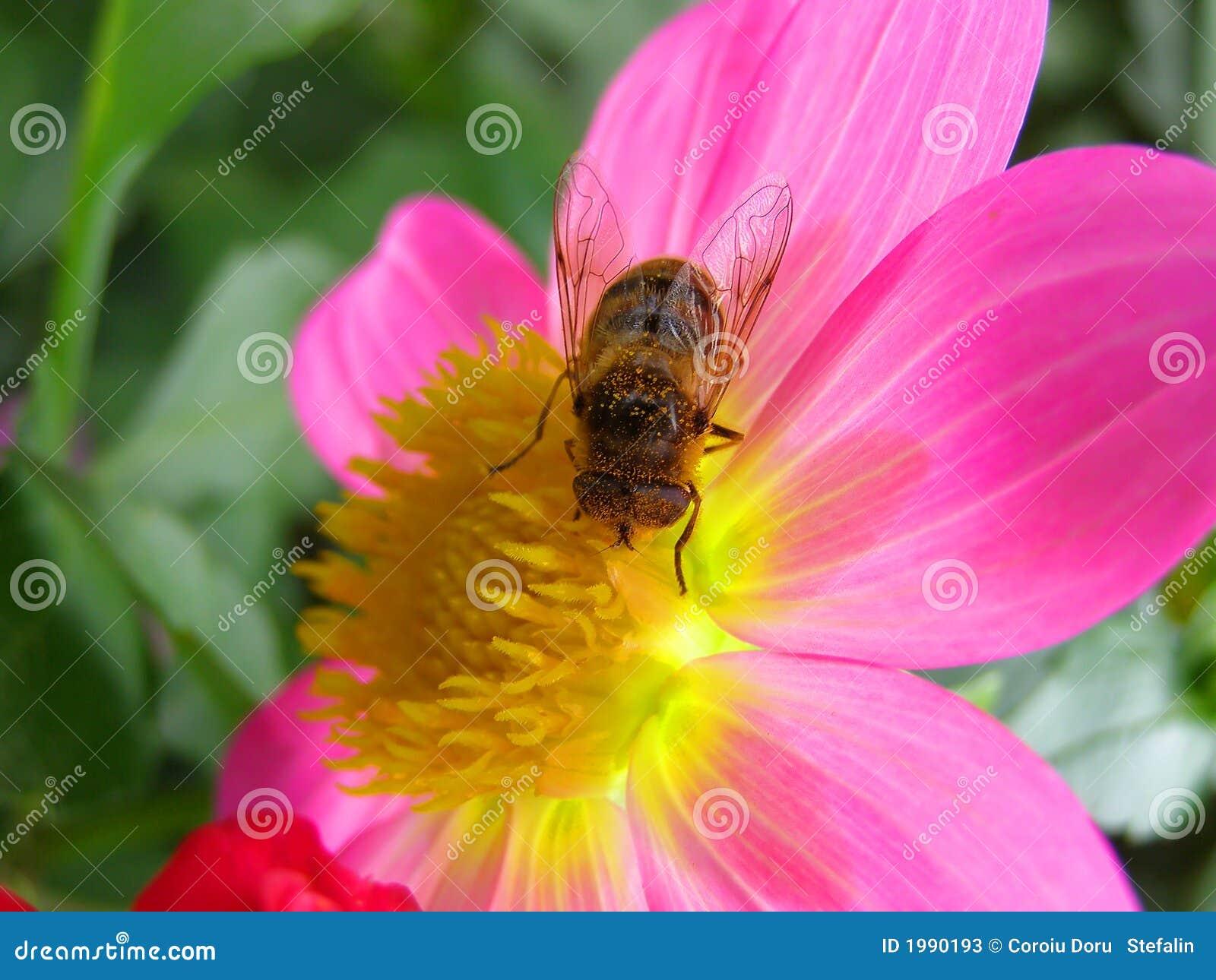 Fleur et abeille roses