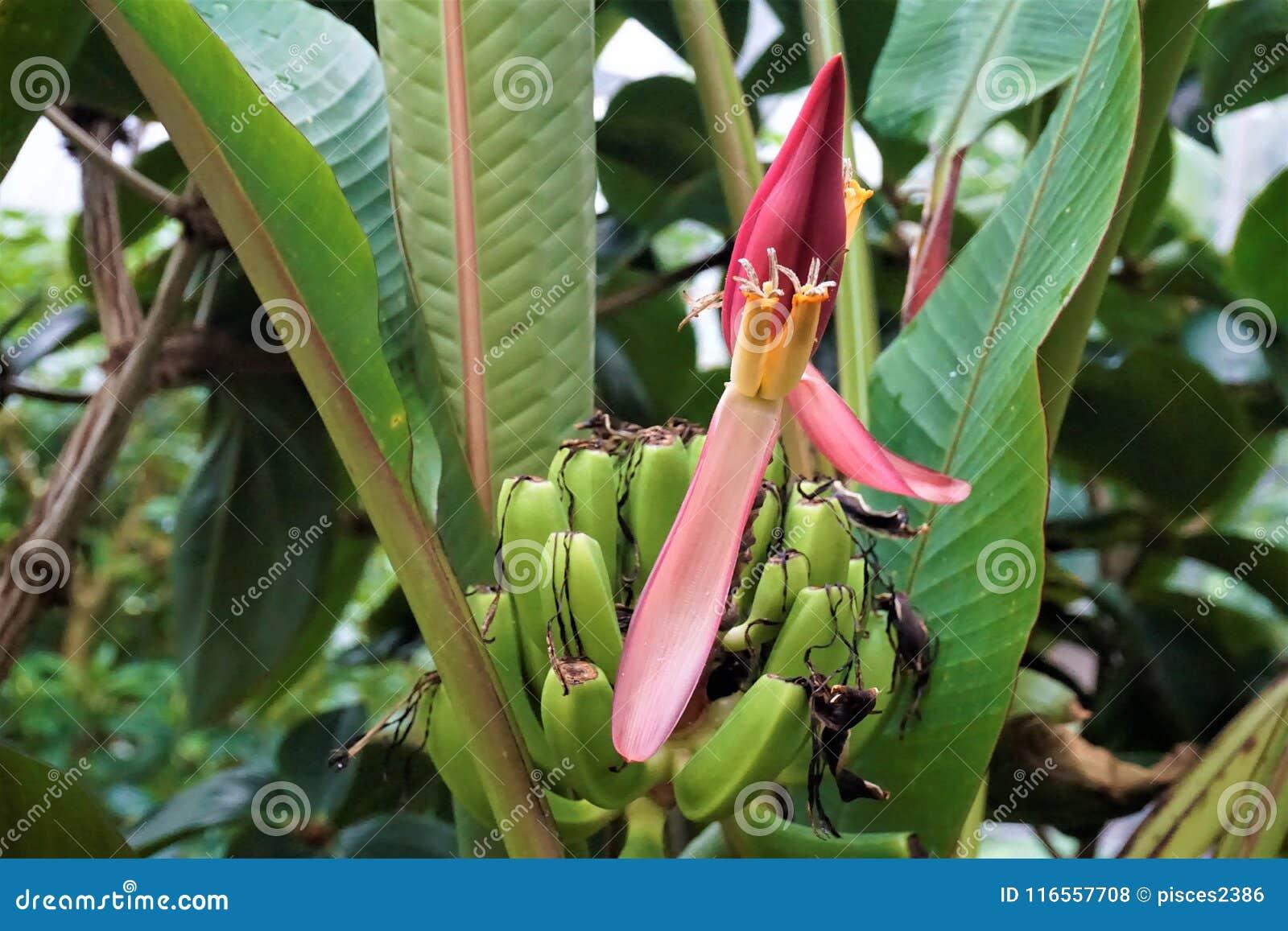 fleur et fruits d'un bananier photo stock - image du cultivé, rouge