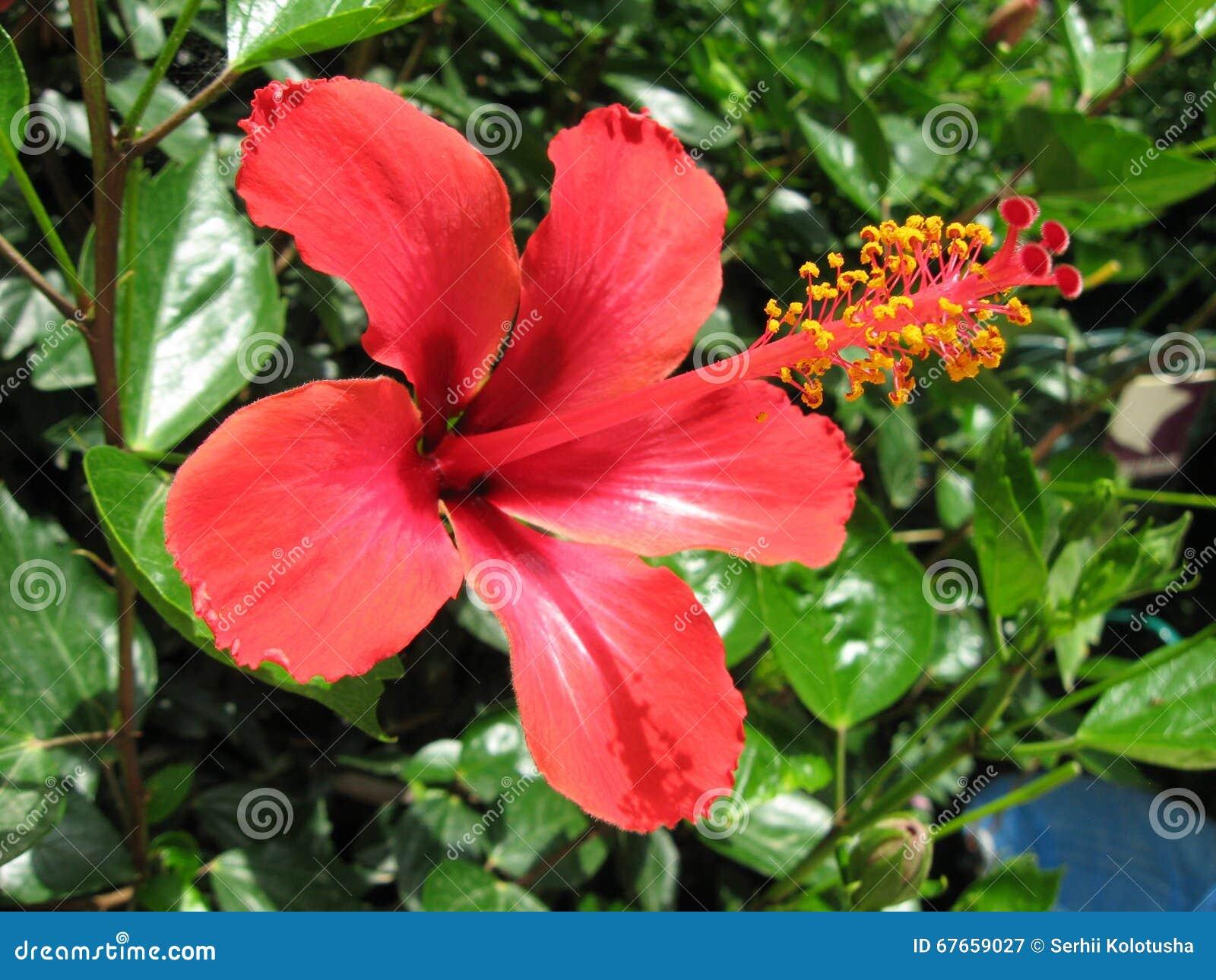 Fleur et plante rouges exotiques de ketmie photo stock image 67659027 for Fleurs et plantes