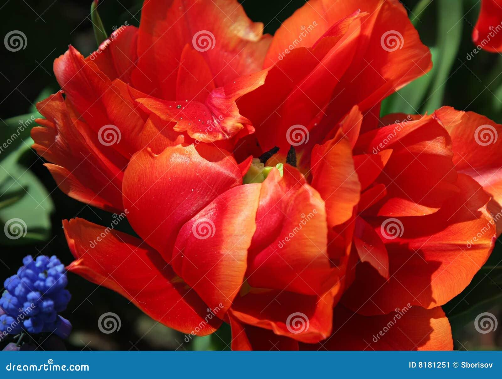 Fleur exotique de tulipe