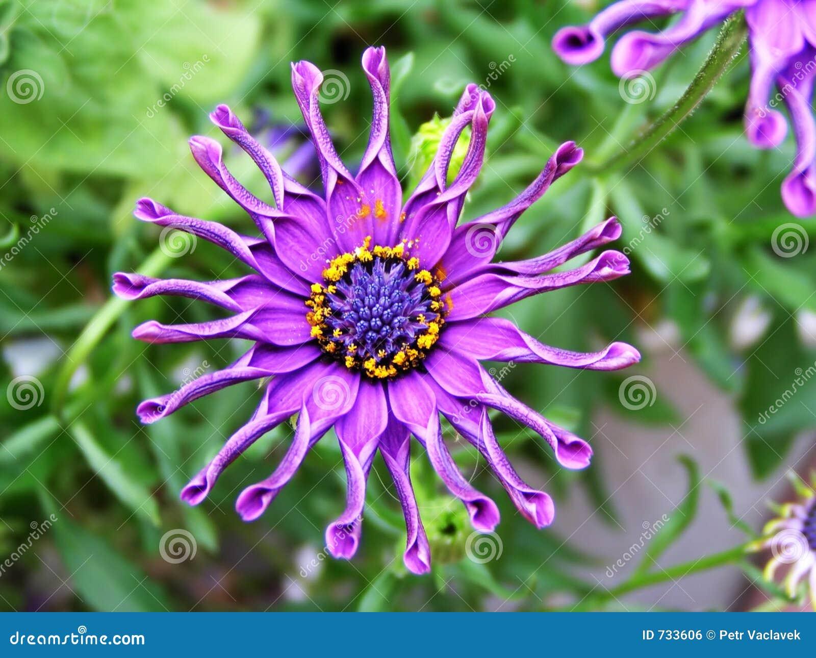 Fleur folle