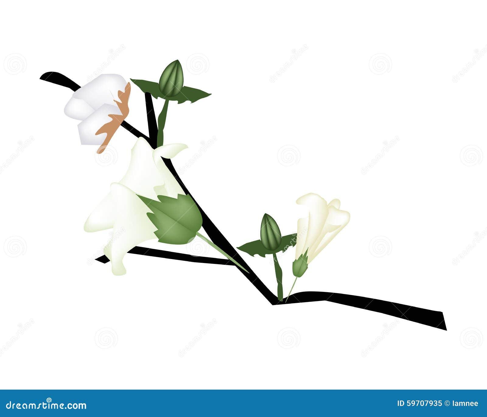 Fleur fra che de coton avec le bourgeon sur la branche - Branche de coton ...
