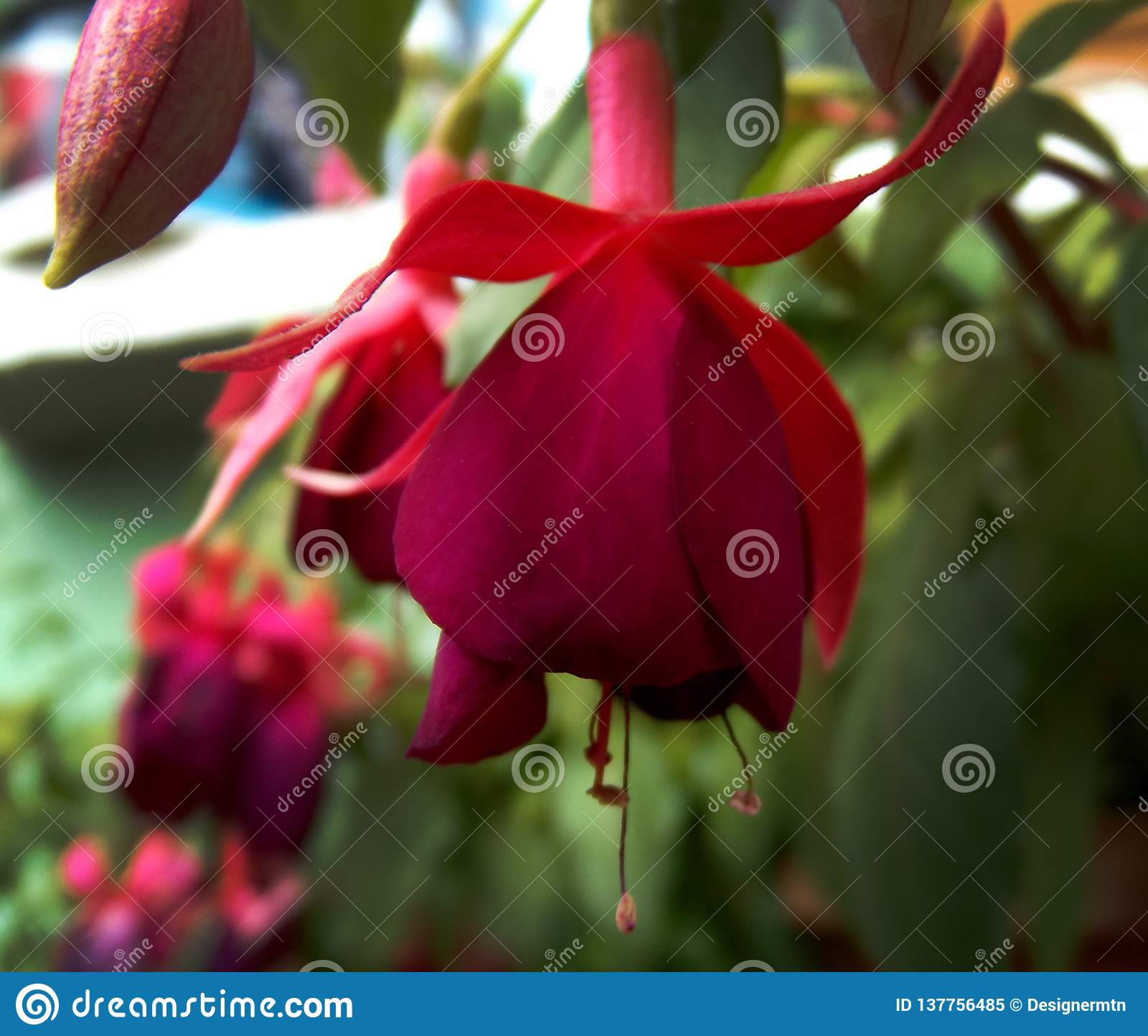 Fleur fuchsia pourpre naturelle de boucle d oreille