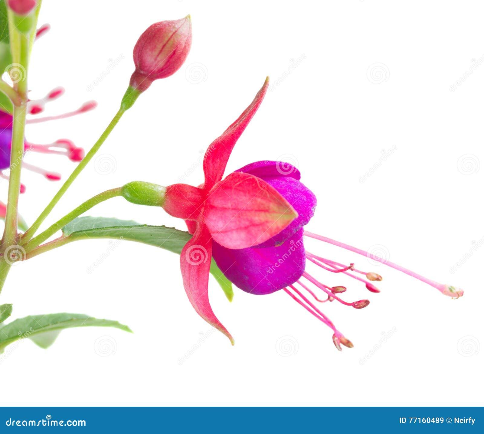 Fleur fuchsia sur le blanc
