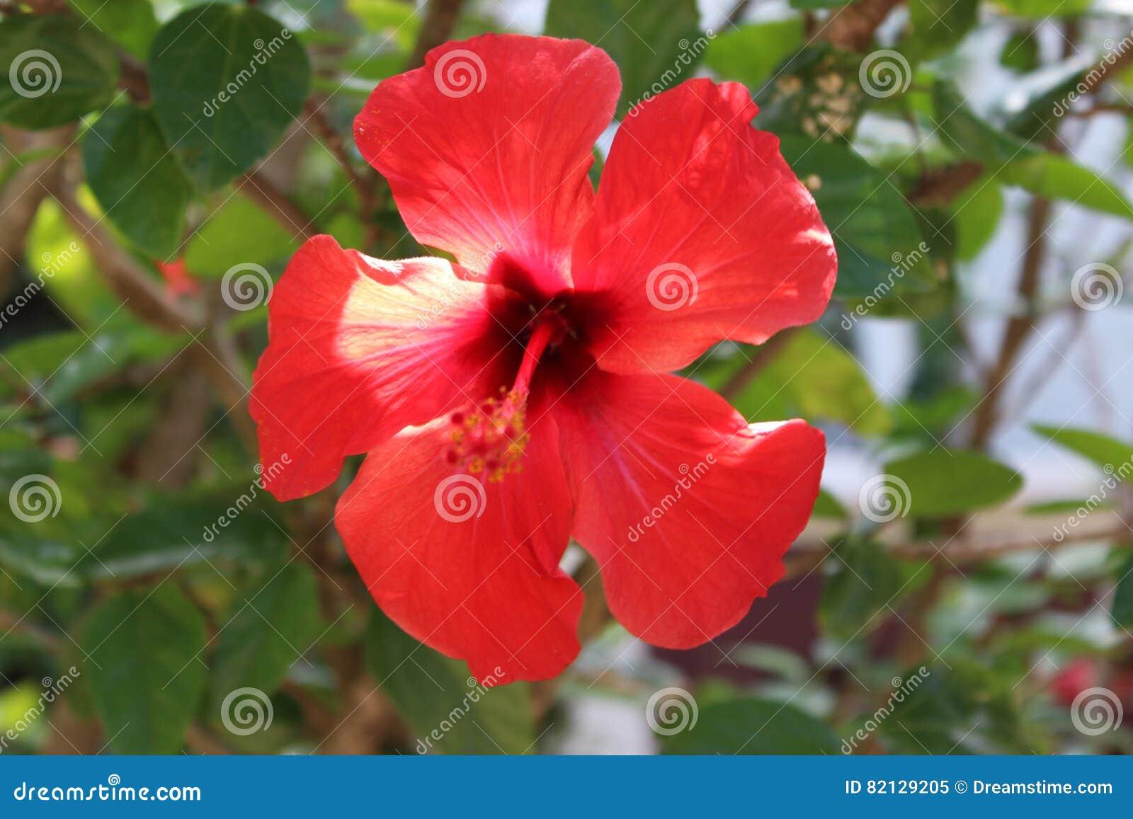 fleur hawaïenne photo stock - image: 82129205