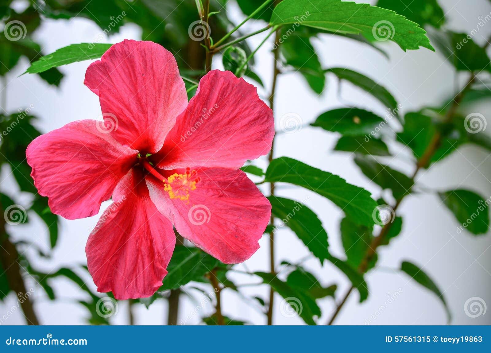 Fleur hawa enne de ketmie photo stock image 57561315 - Fleure hawaienne ...