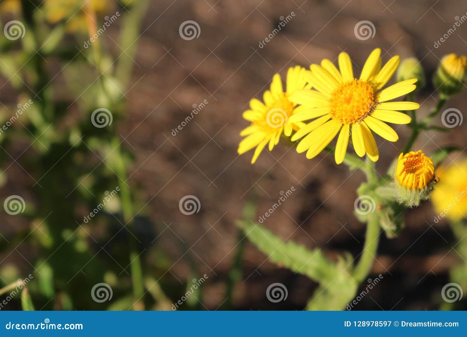Fleur jaune avec des boutons au début de l ouverture