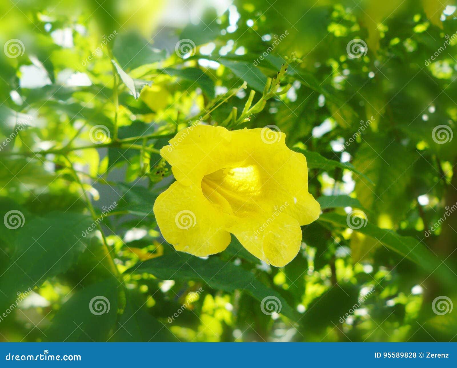 Fleur jaune Cat& x27 ; griffe de s