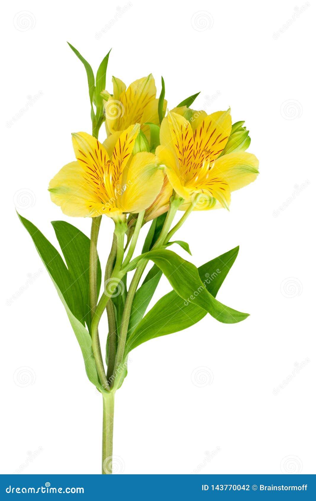 Fleur jaune d alstroemeria sur la fin d isolement par fond blanc, trois fleurs de lis sur une branche avec les feuilles vertes