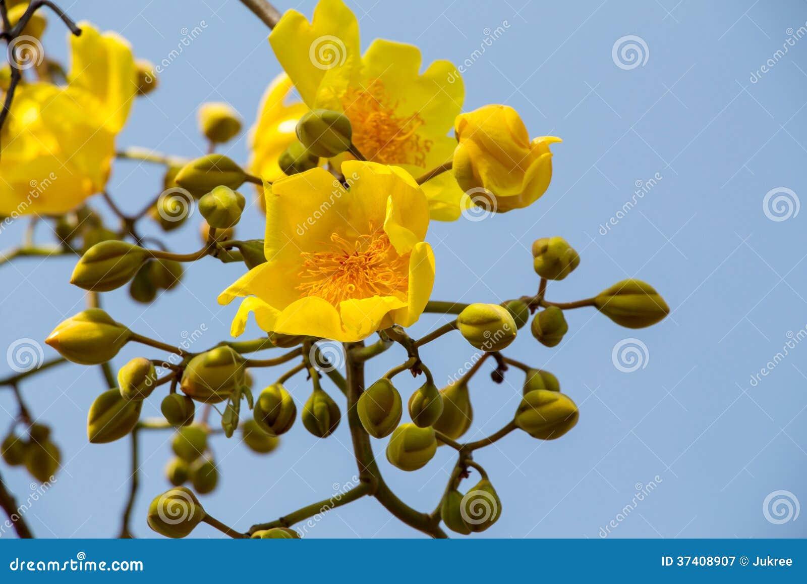 Fleur Jaune D Arbre De Coton En Soie Image Stock Image Du Nature