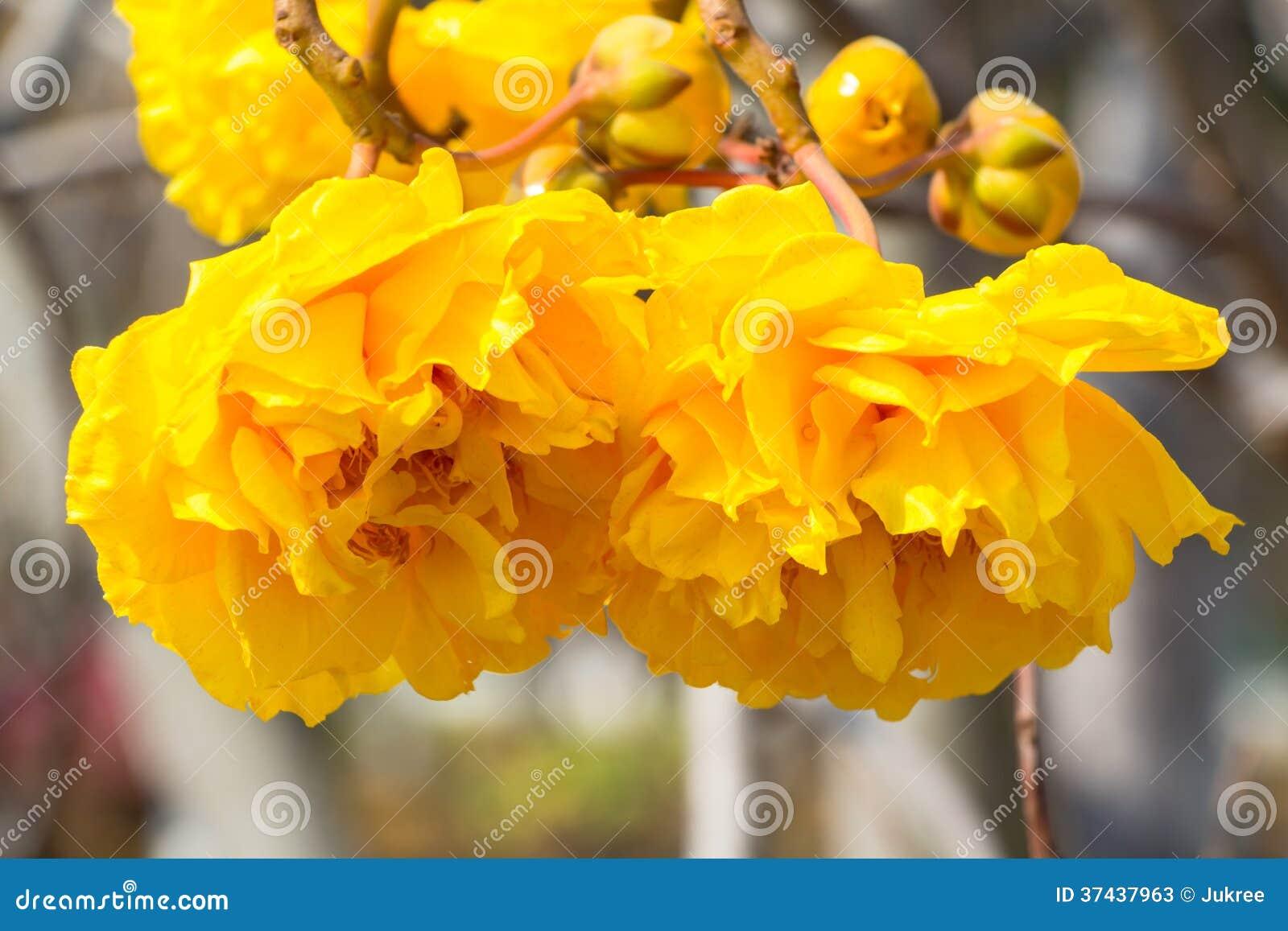 fleur jaune d 39 arbre de coton en soie image stock image 37437963. Black Bedroom Furniture Sets. Home Design Ideas