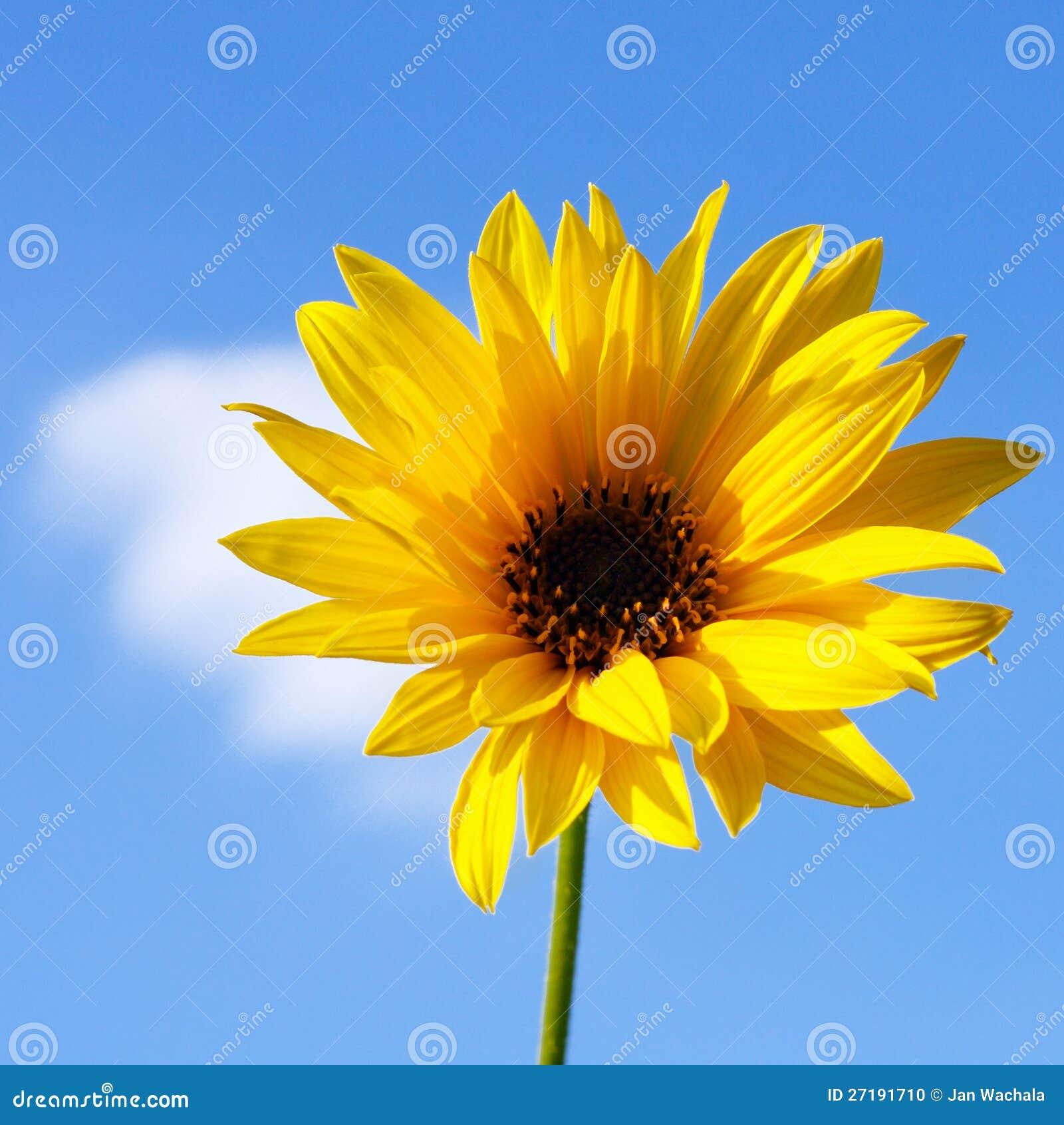 Fleur jaune d 39 automne photo stock image 27191710 for Fleurs automne