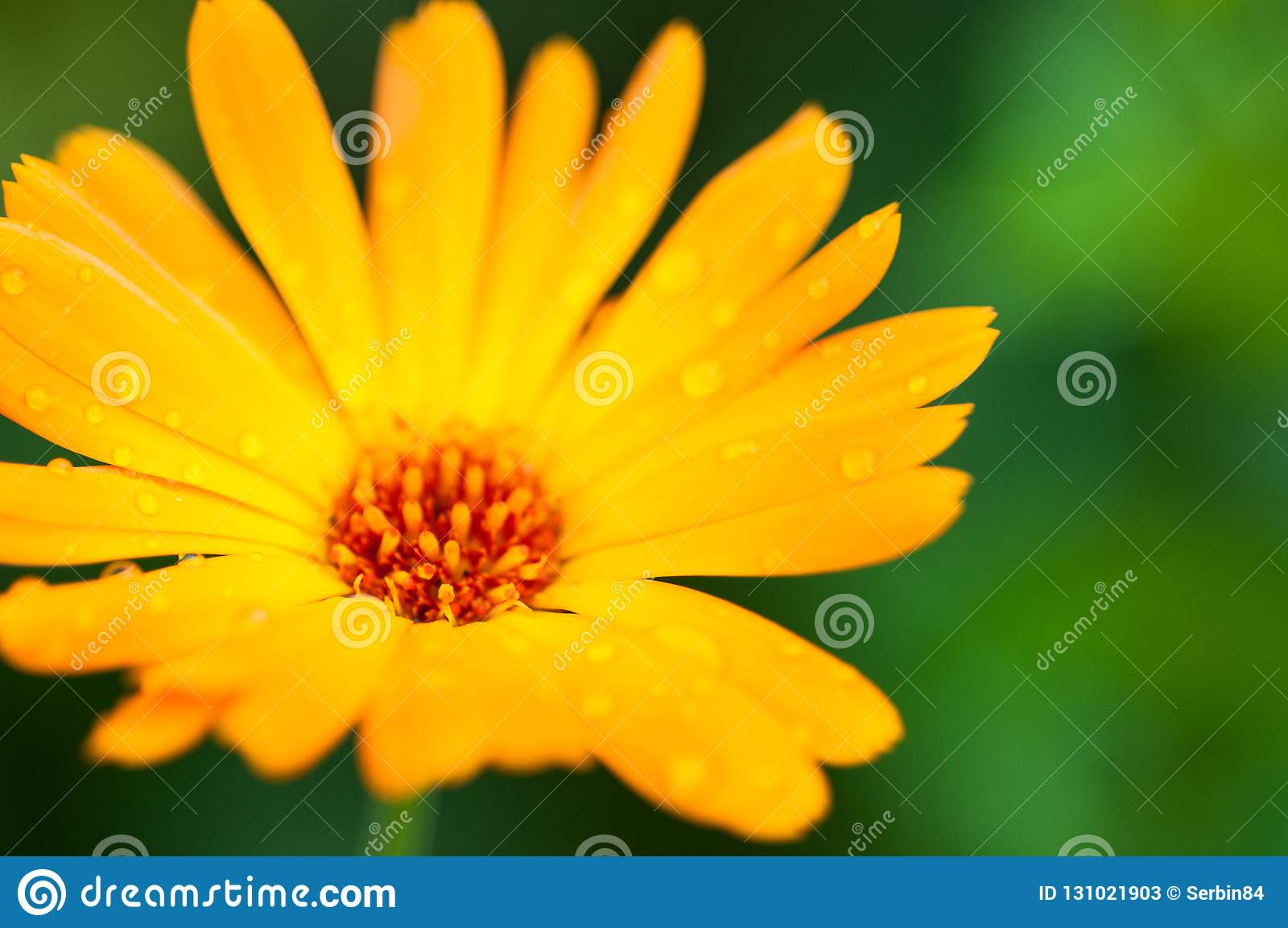 Fleur jaune de calendula avec des baisses après pluie Macro photographie