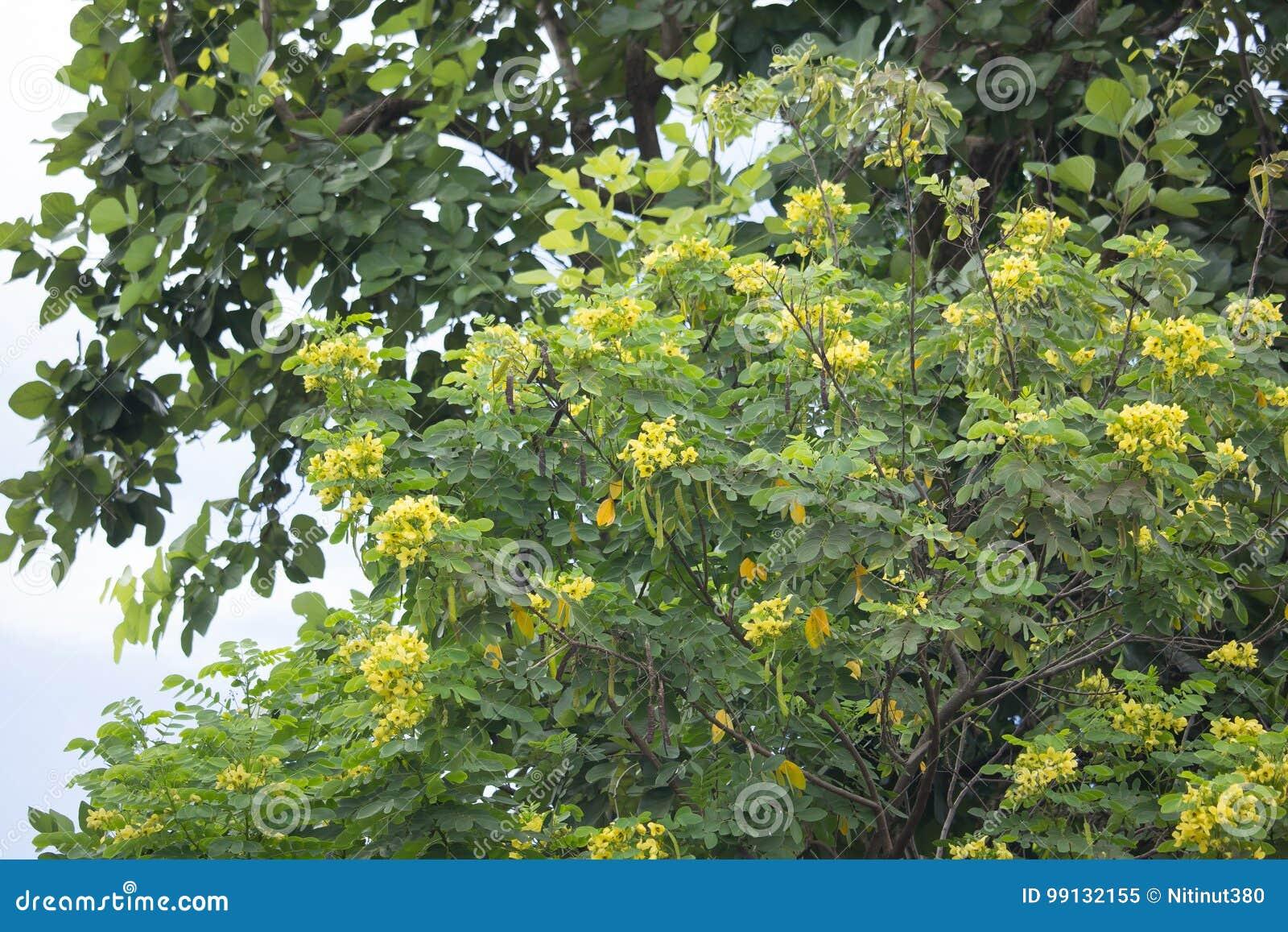Fleur Jaune De Cosse Ou D Arbre De Cuivre Thailandaise De Cassod