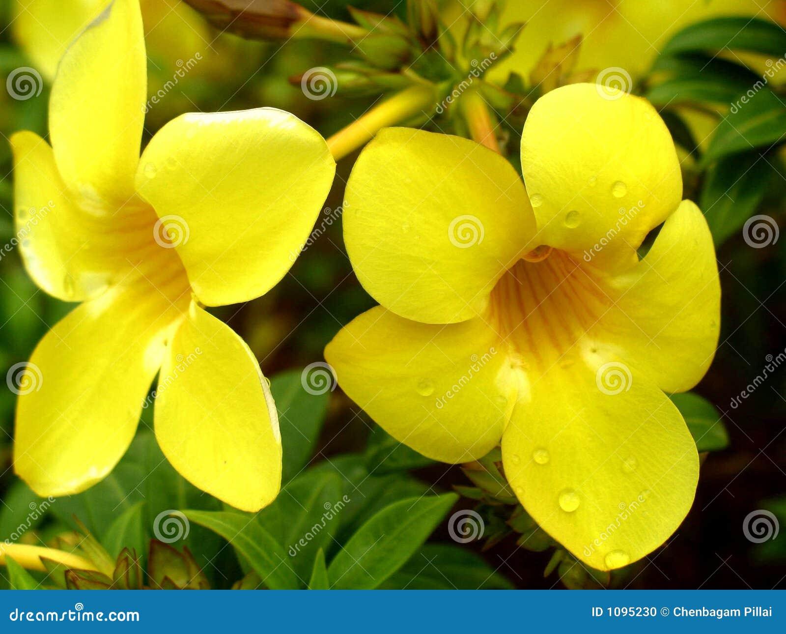 Fleur jaune de couleur