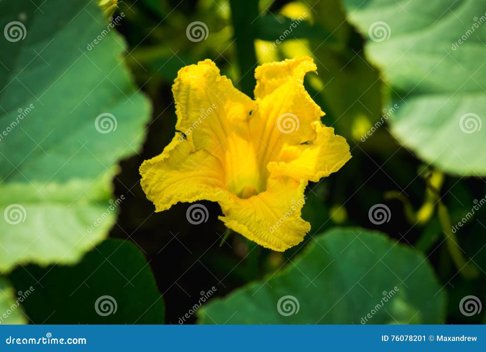 Fleur jaune de courge dans le jardin