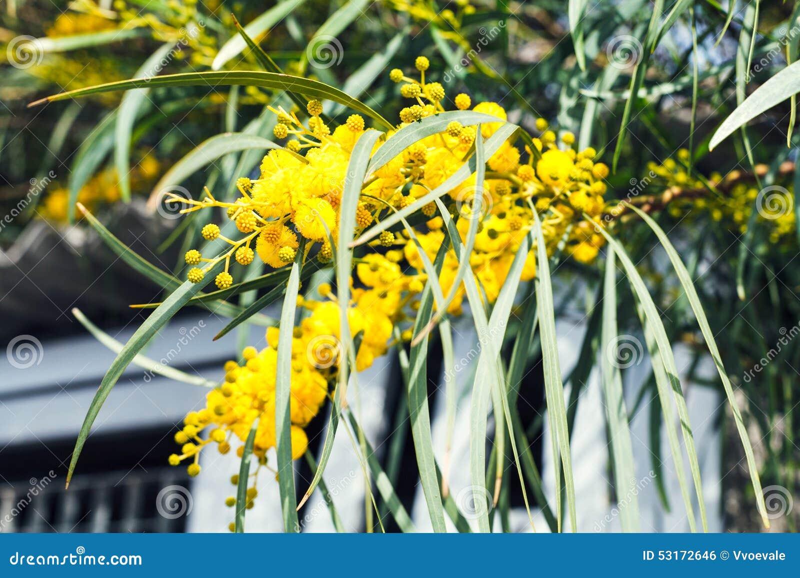 Fleur Jaune De Fin D Arbre D Acacia Au Printemps Photo Stock Image
