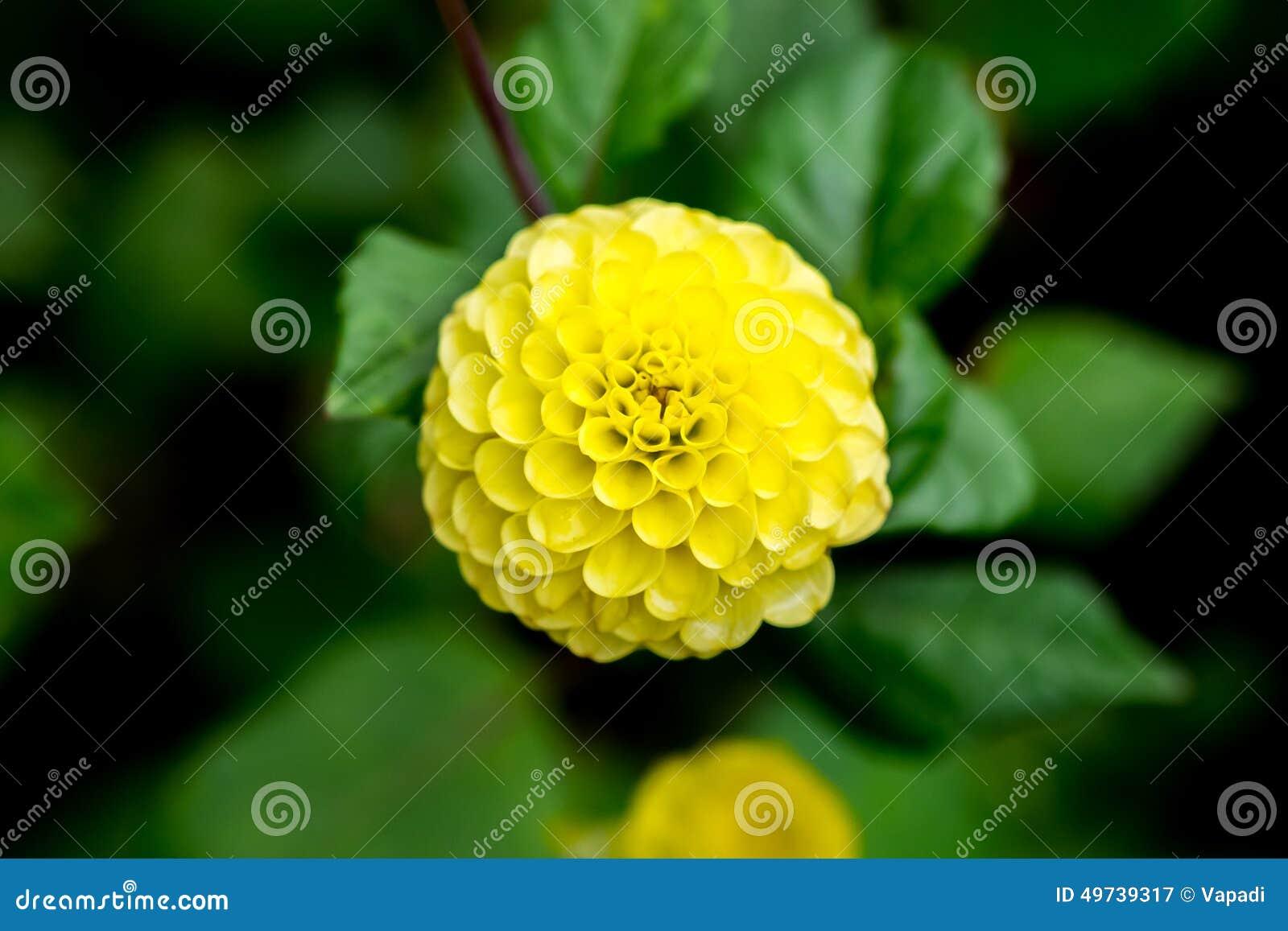 fleur jaune de floraison de dahlia de boule photo stock - image