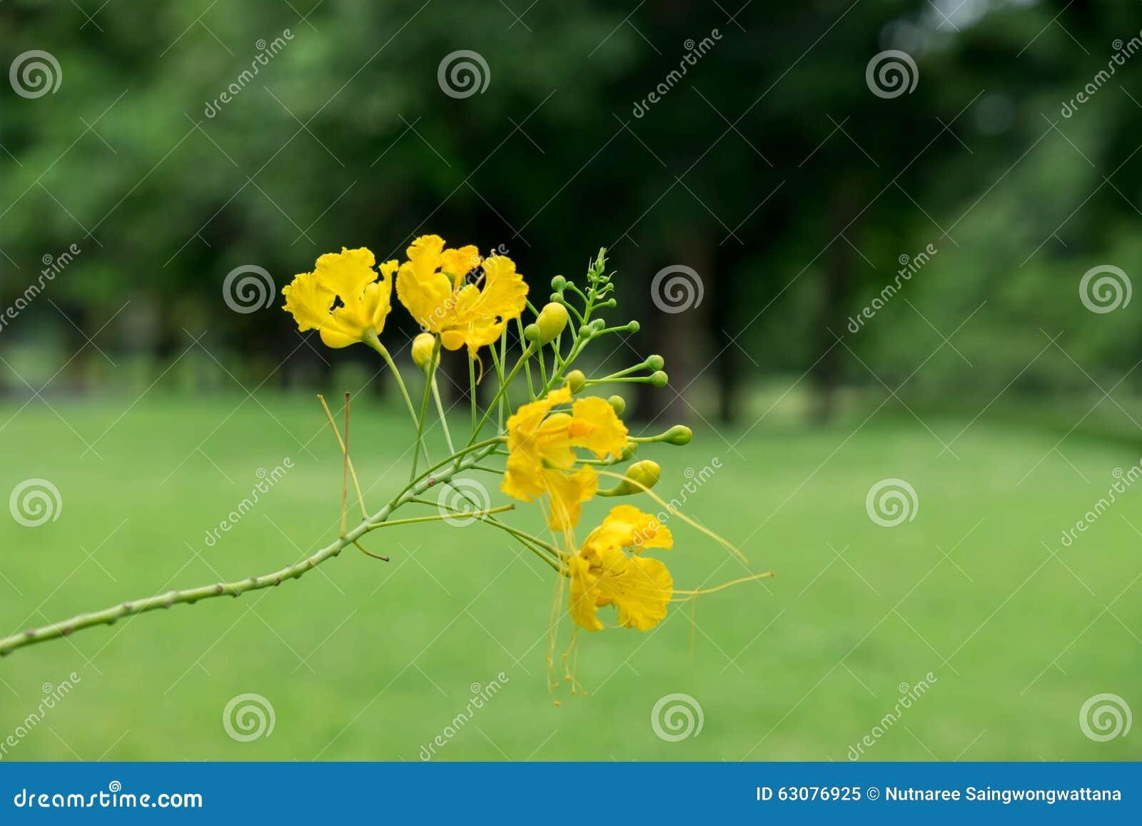 Download Fleur Jaune De Foyer Dans Le Jardin Image stock - Image du ressource, floraison: 63076925