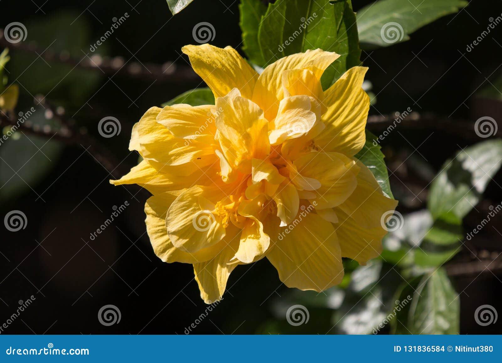Fleur jaune de ketmie à l arrière-plan noir de dard