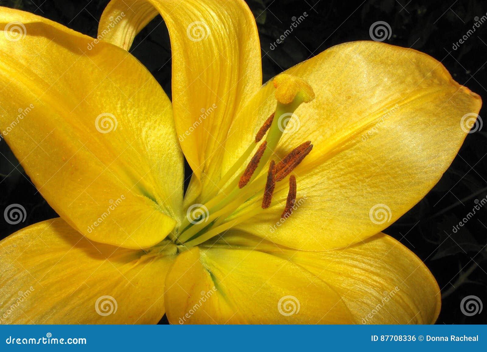 Fleur jaune de lis