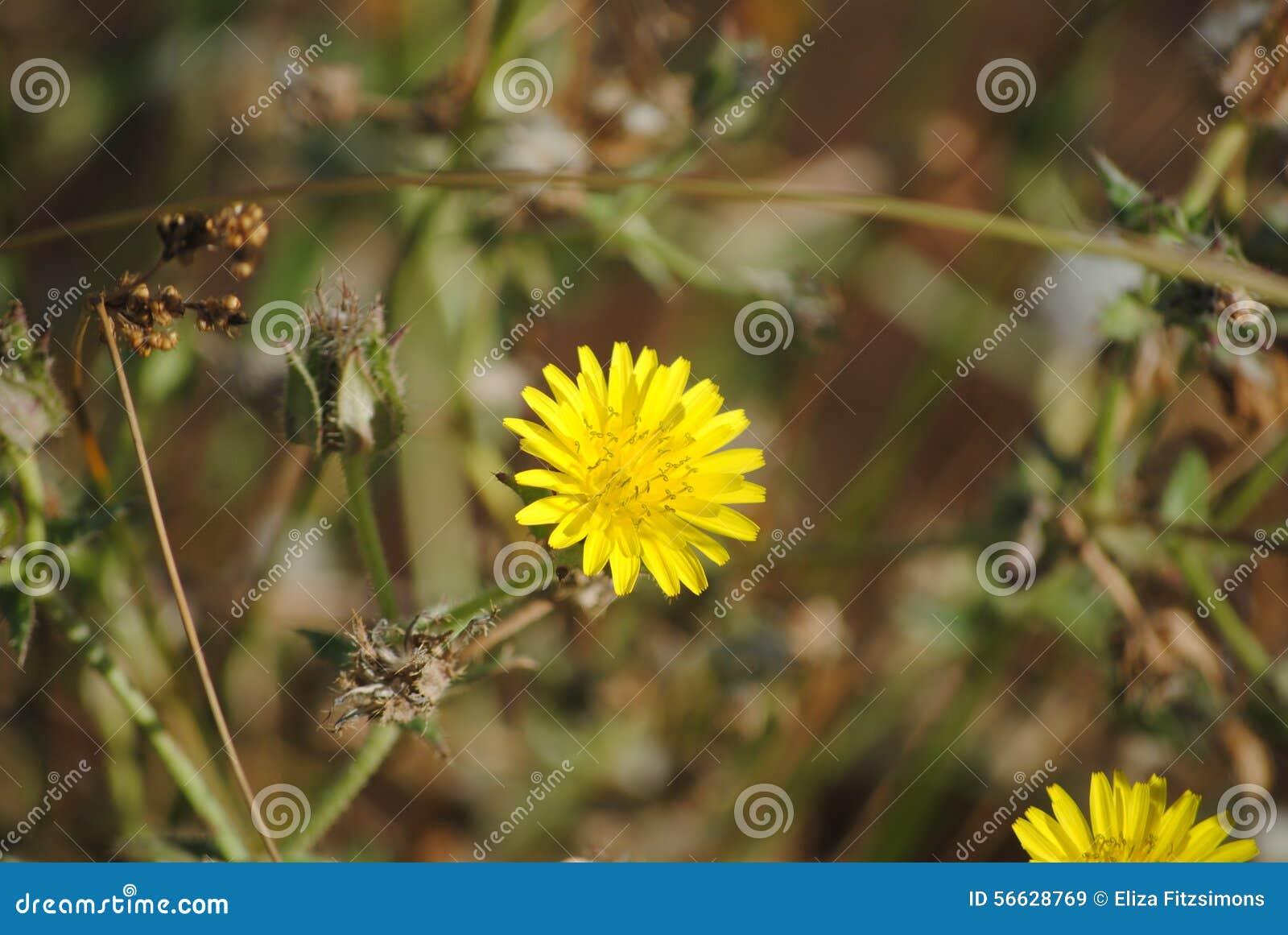Fleur jaune de mauvaise herbe de hawkweed photo stock - Mauvaise herbe fleur jaune ...
