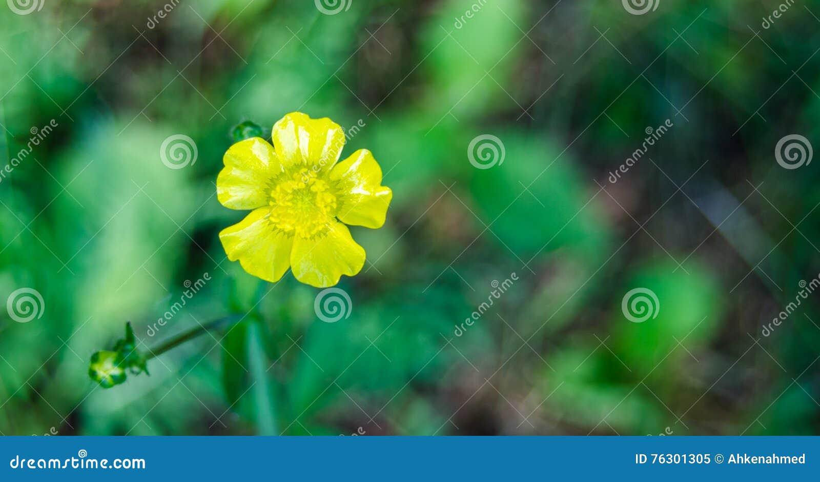 Fleur jaune de mauvaise herbe renoncule fin dans le - Mauvaise herbe fleur jaune ...