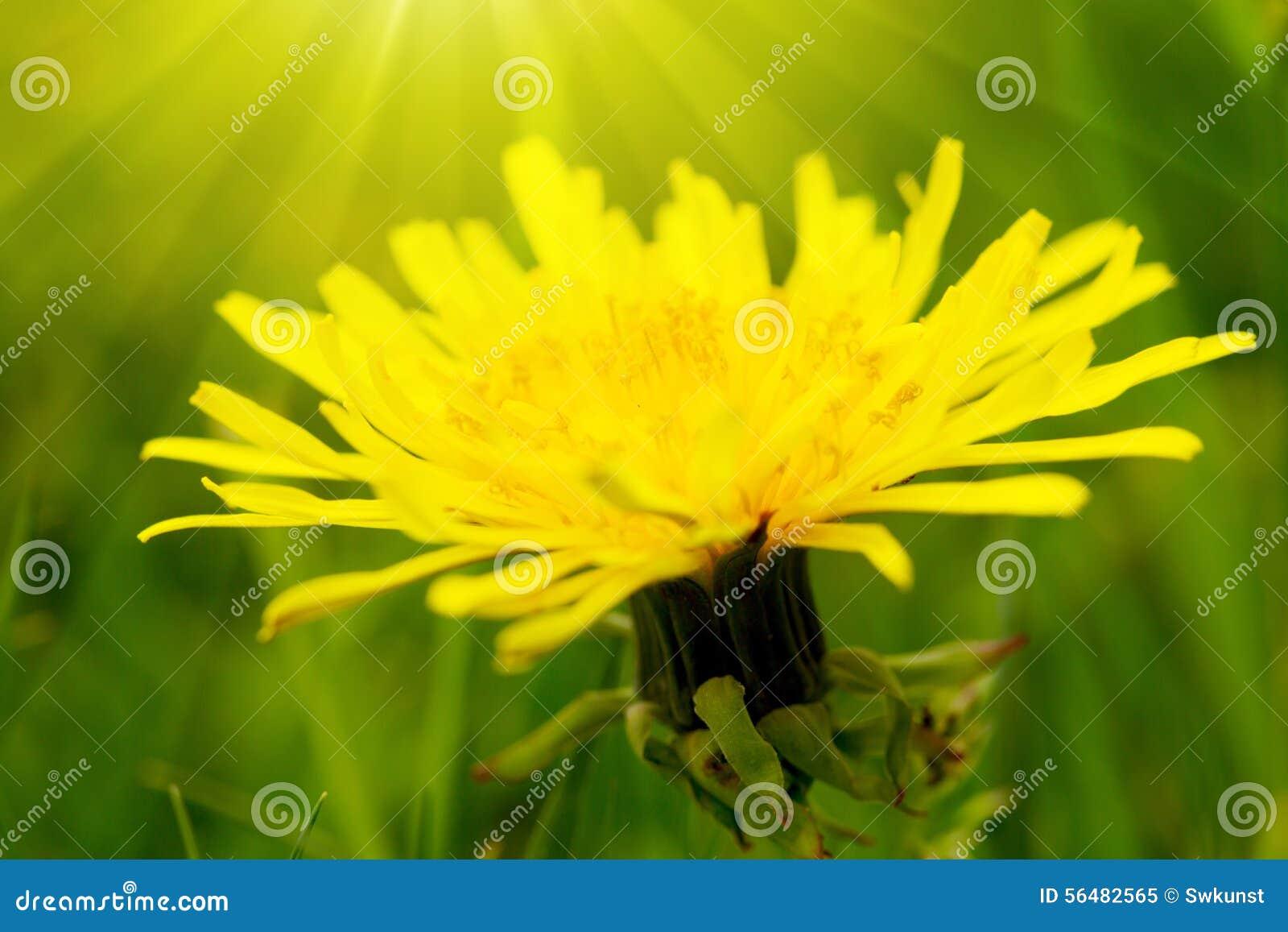 Fleur jaune de pissenlit