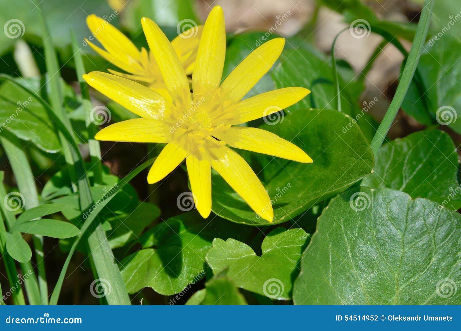 fleur jaune de renoncule fleurissant au printemps dans les bois photo stock image du flore. Black Bedroom Furniture Sets. Home Design Ideas