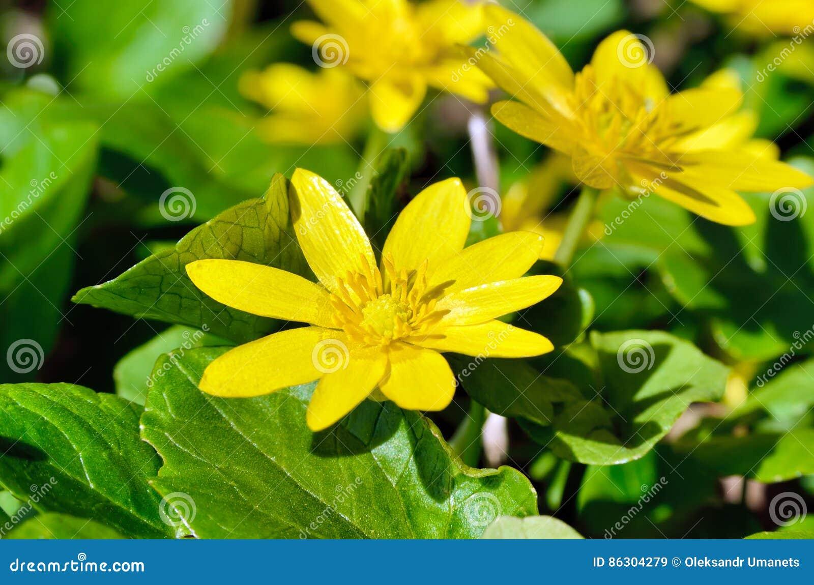 Fleur jaune de renoncule fleurissant au printemps dans les bois photo stock image 86304279 - Arbuste fleurs jaunes printemps ...