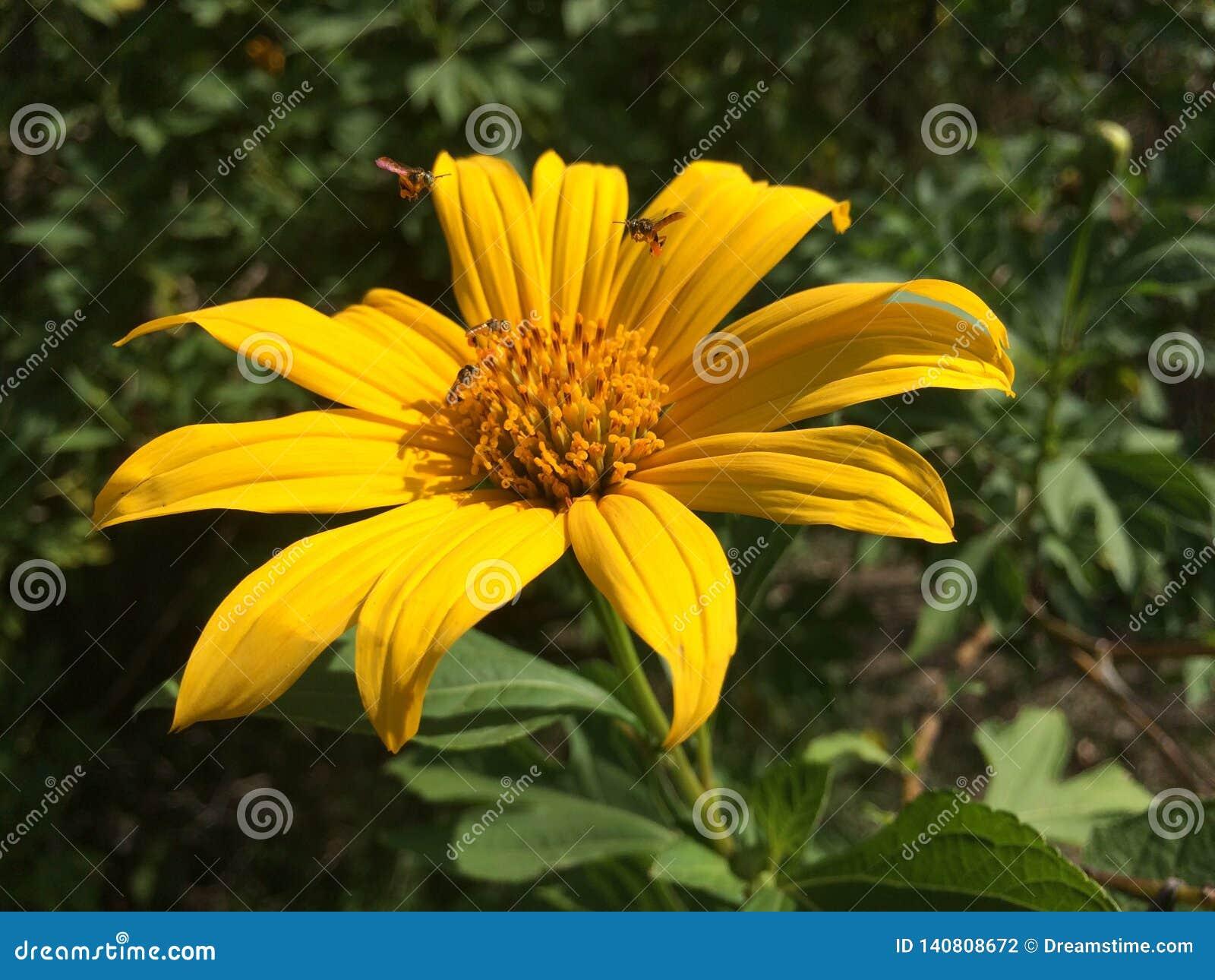 Fleur Jaune De Viguiera Photo Stock Image Du Venezuela