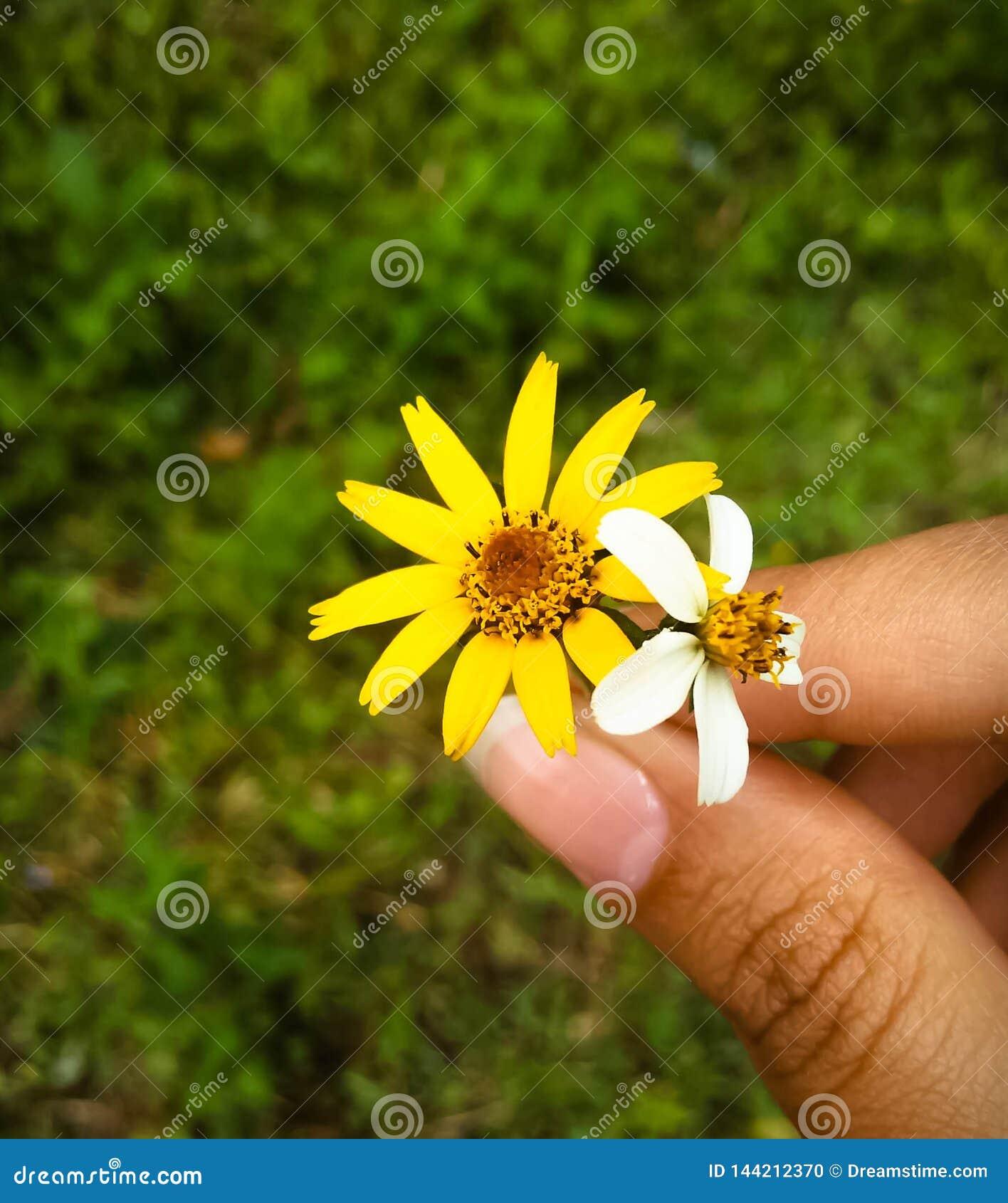 Fleur jaune et blanche tenue par la main de la femme