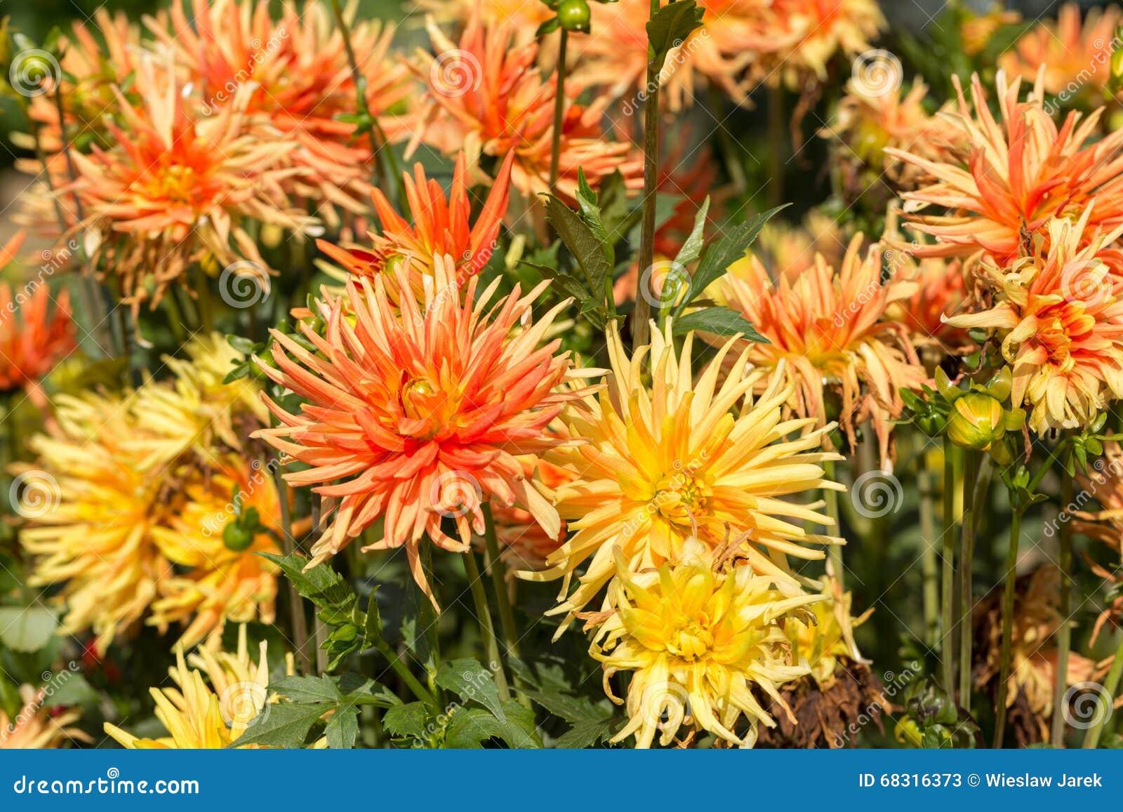 fleur jaune et orange de dahlia dans le jardin photo stock - image