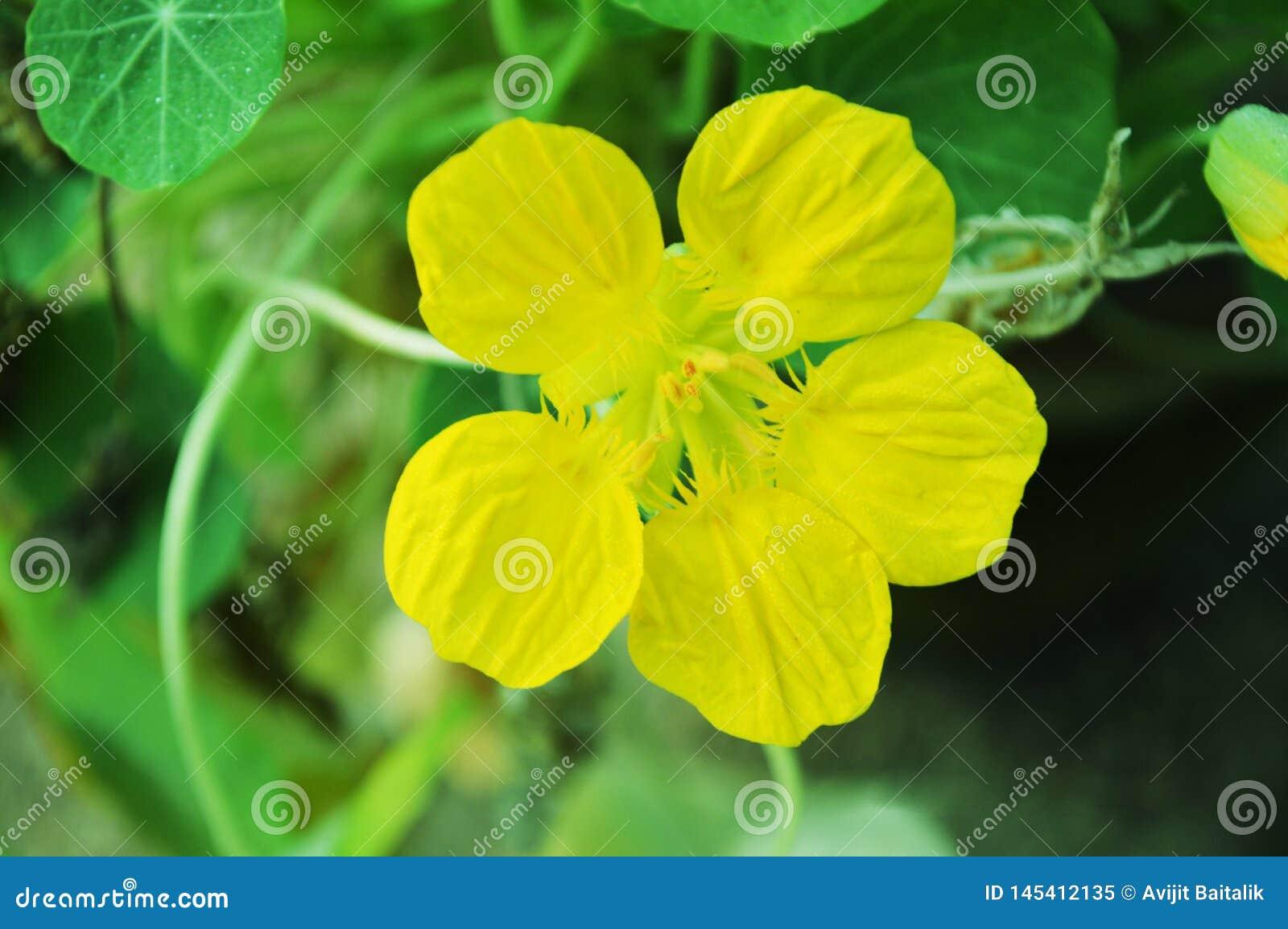 Fleur jaune ? l arri?re-plan vert