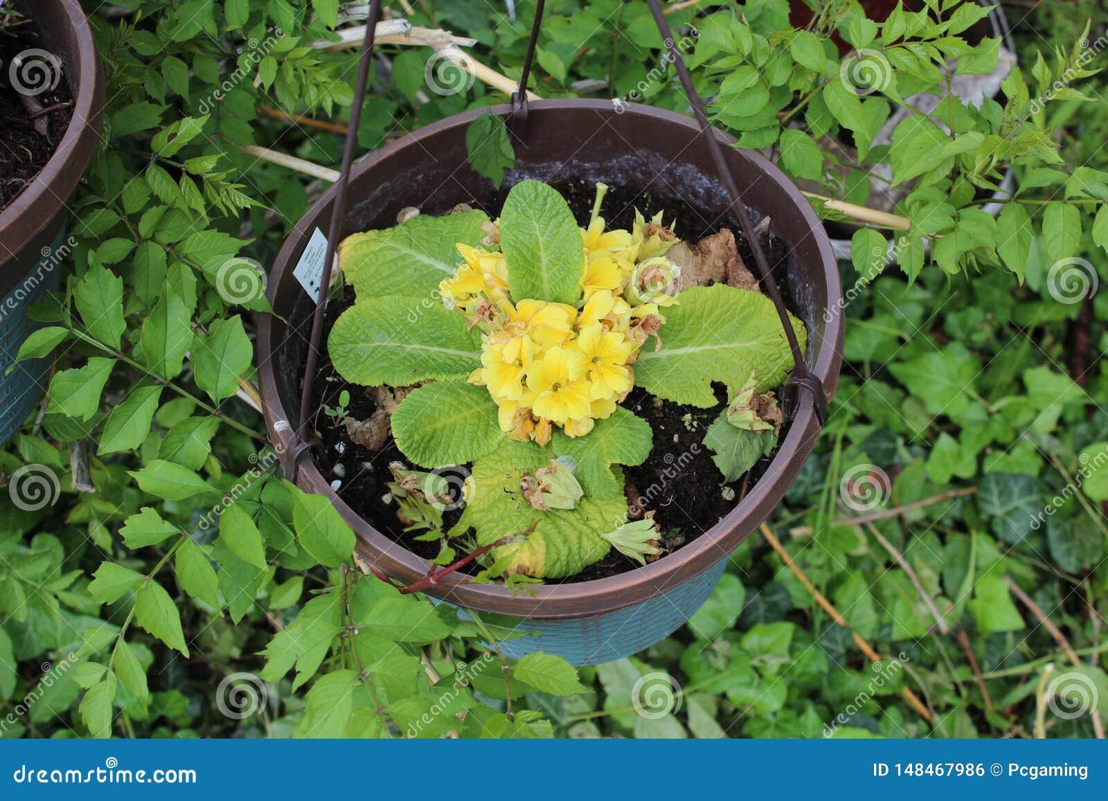 Fleur jaune mise en pot