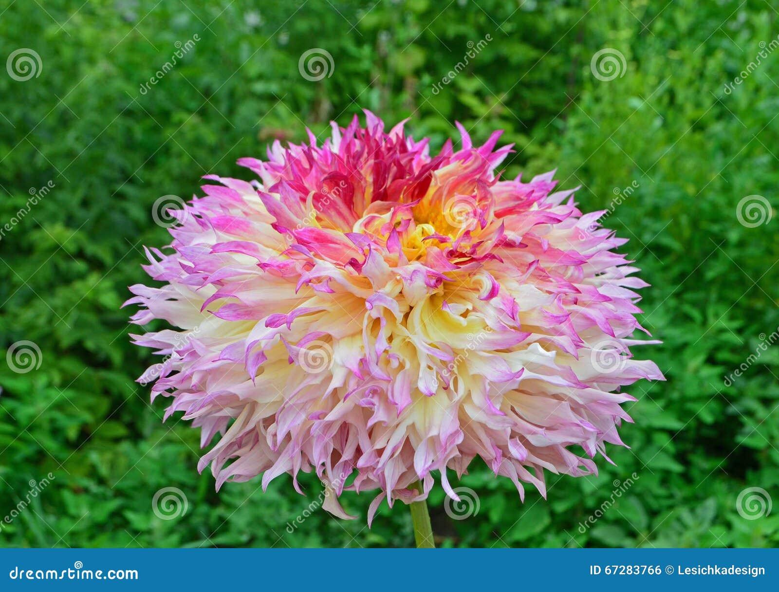 fleur jaune, rose et orange de dahlia dans le jardin photo stock