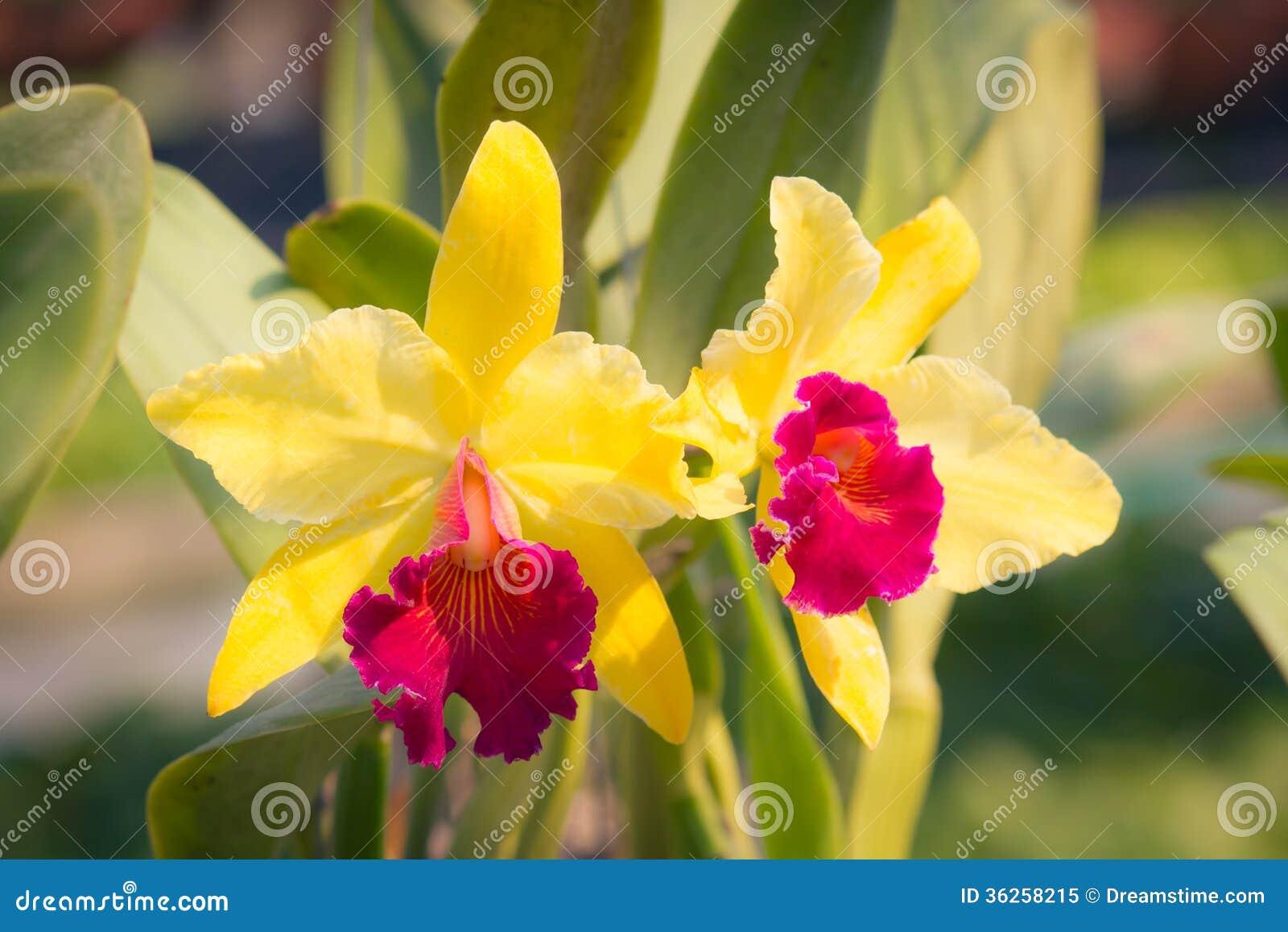 fleur jaune rouge d 39 orchid e de cattleya photo libre de droits image 36258215. Black Bedroom Furniture Sets. Home Design Ideas