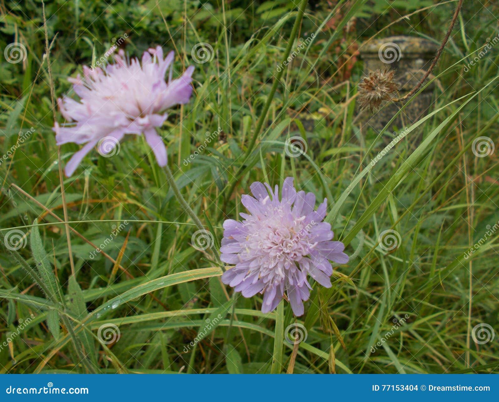 Fleur lilas de pissenlit