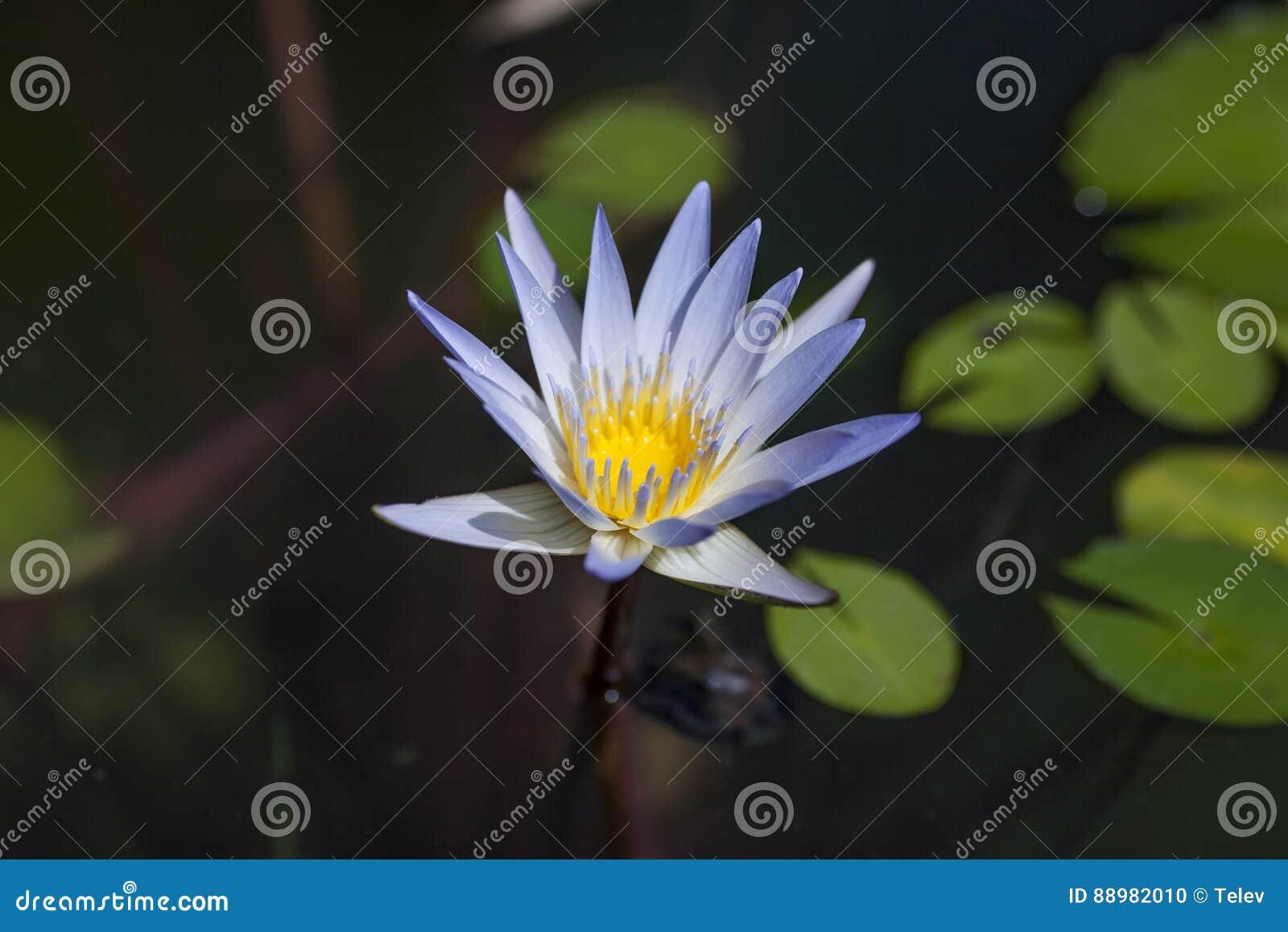 Fleur Lotus Bleu Photo Stock Image Du Floraison Exterieur 88982010